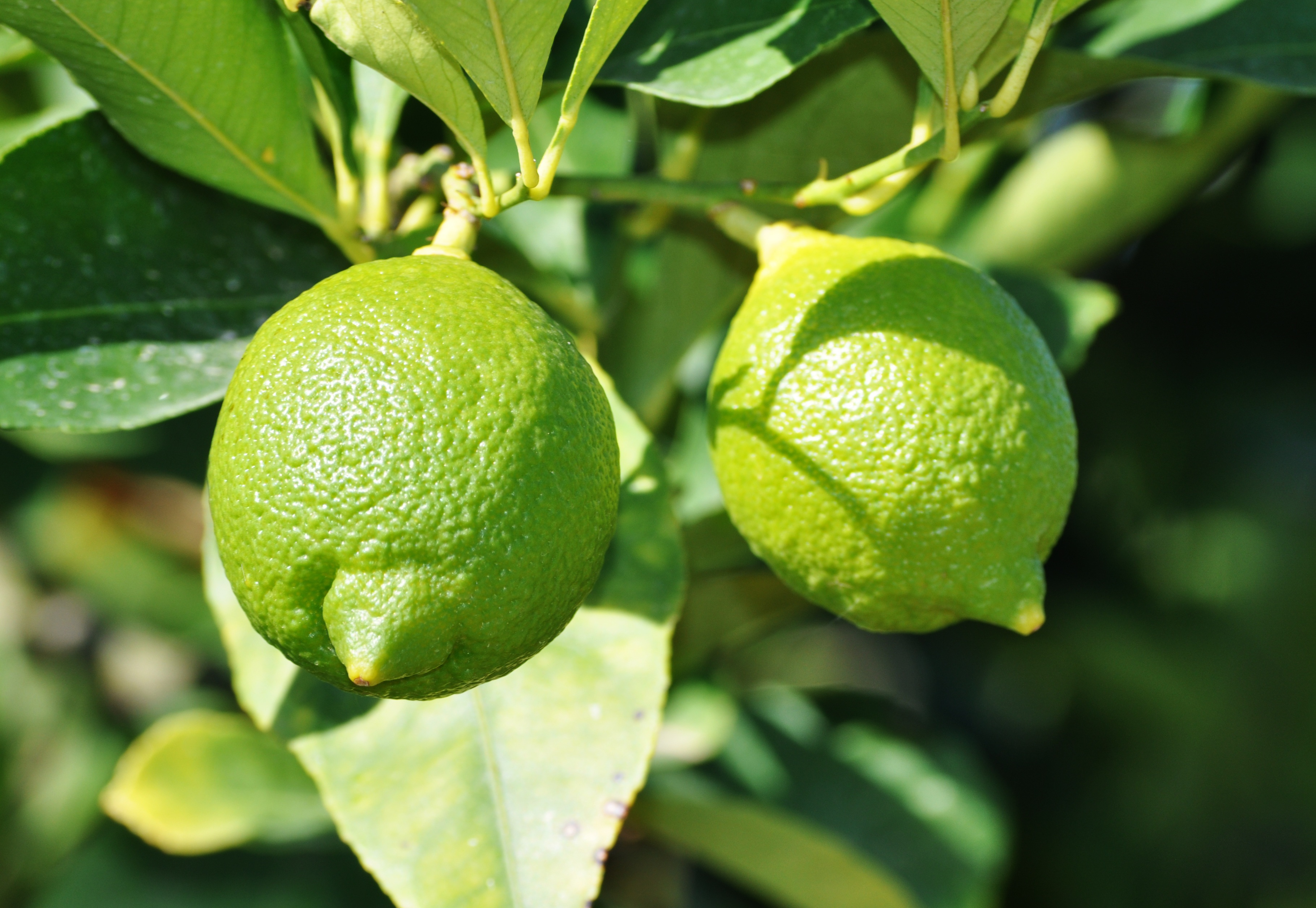80976 download wallpaper Food, Lime, Branches, Fruit, Citrus screensavers and pictures for free