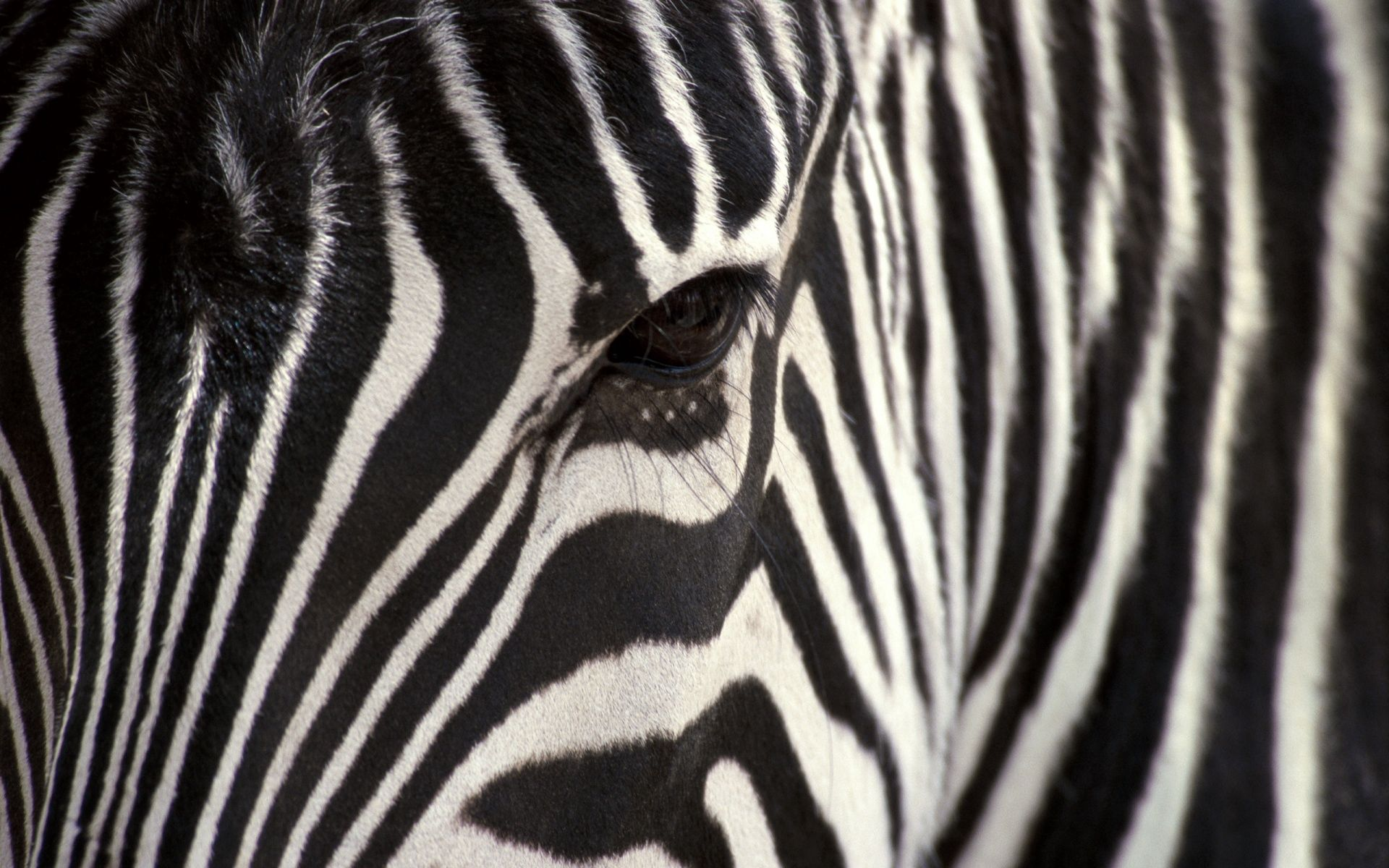 151194 download wallpaper Animals, Zebra, Eyes, Stripes, Streaks screensavers and pictures for free