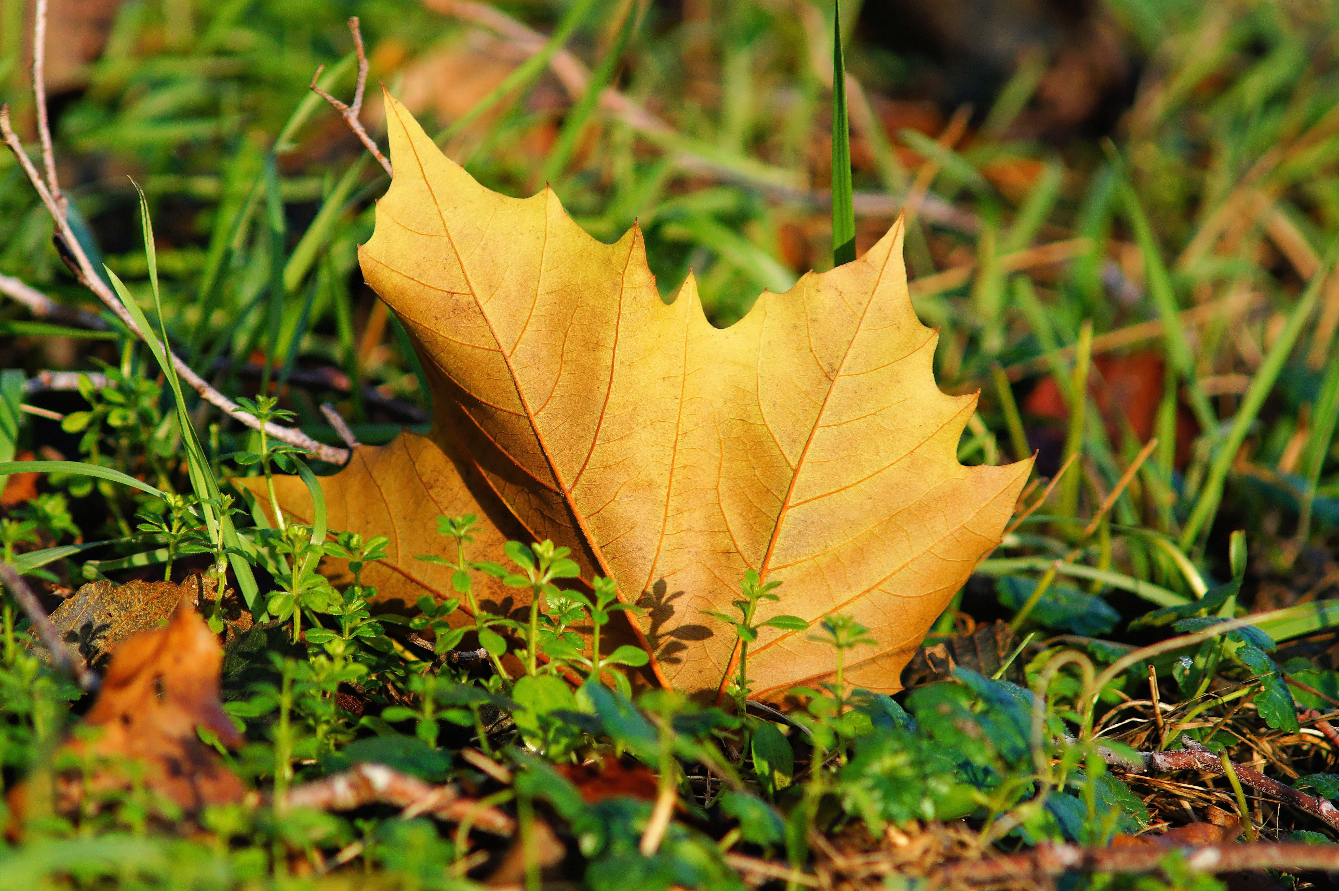 69209 download wallpaper Nature, Sheet, Leaf, Maple, Grass screensavers and pictures for free