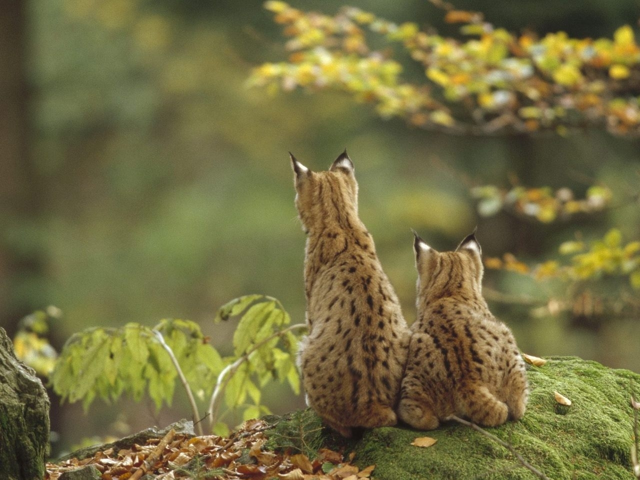 31673 download wallpaper Animals, Bobcats screensavers and pictures for free