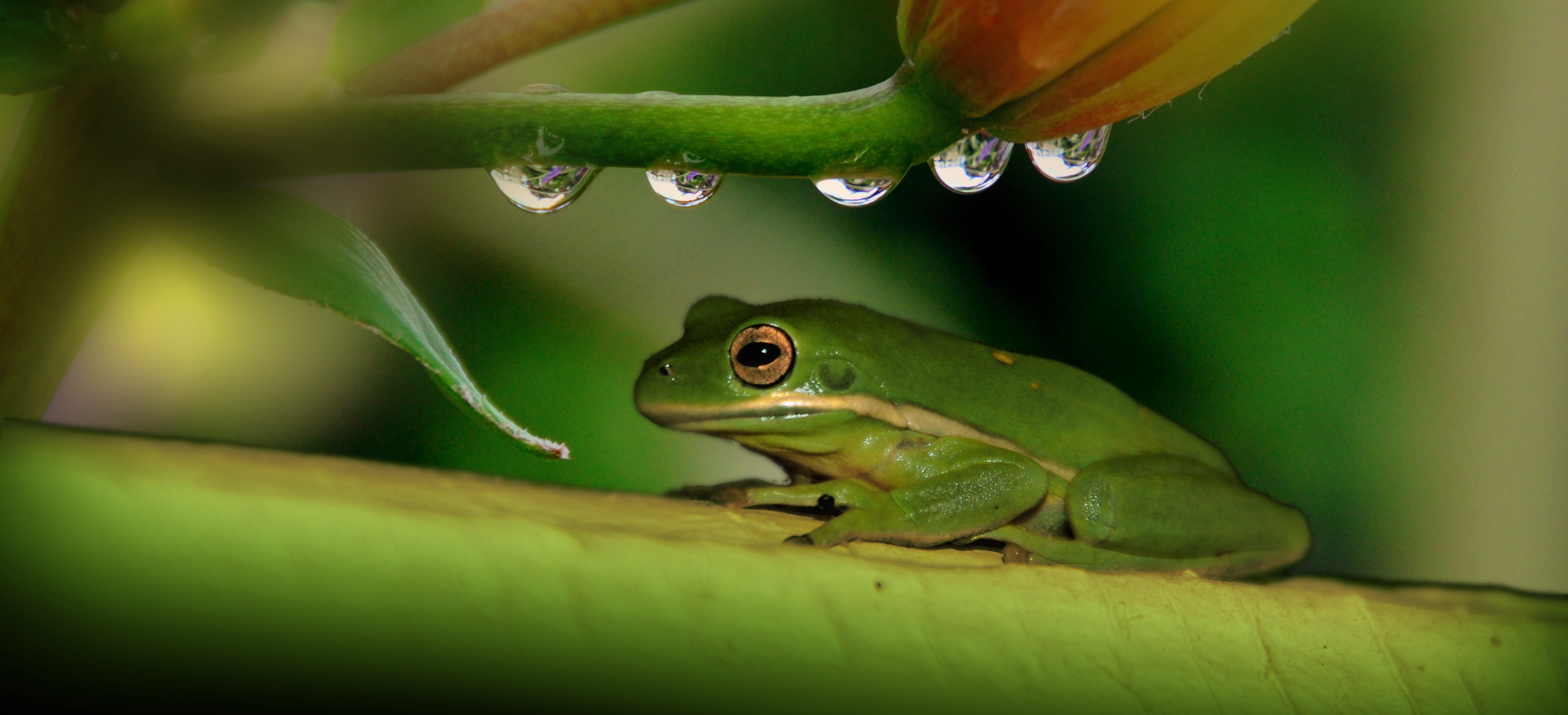 66797 download wallpaper Animals, Drops, Plant, Frog screensavers and pictures for free