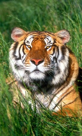 8897 download wallpaper Animals, Grass, Tigers screensavers and pictures for free