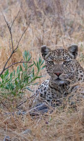 147786 скачать обои Животные, Леопард, Большая Кошка, Хищник, Саванна - заставки и картинки бесплатно