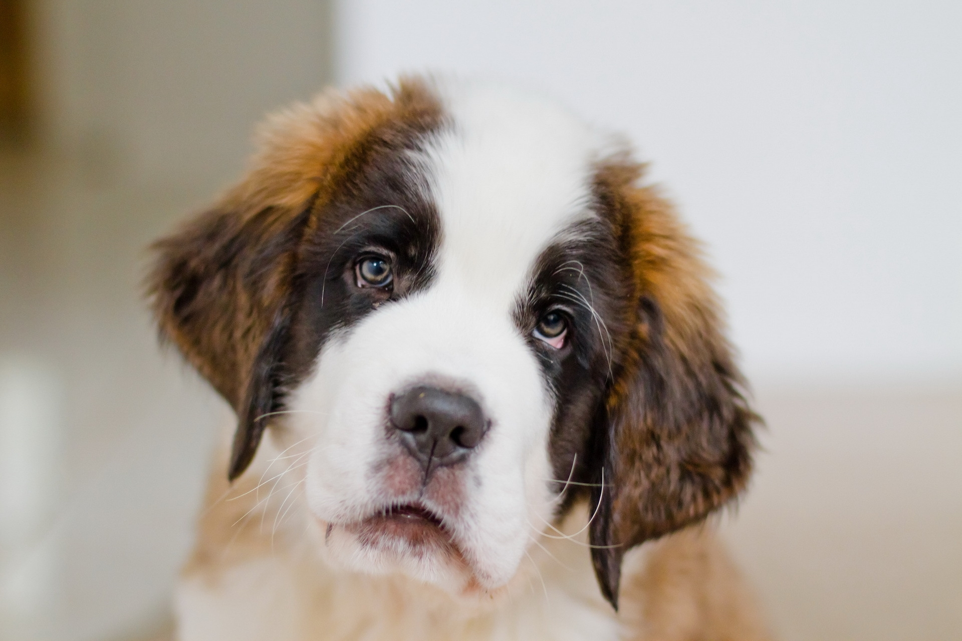127599 download wallpaper Animals, Puppy, St. Bernard, Saint Bernard, Muzzle, Sight, Opinion screensavers and pictures for free