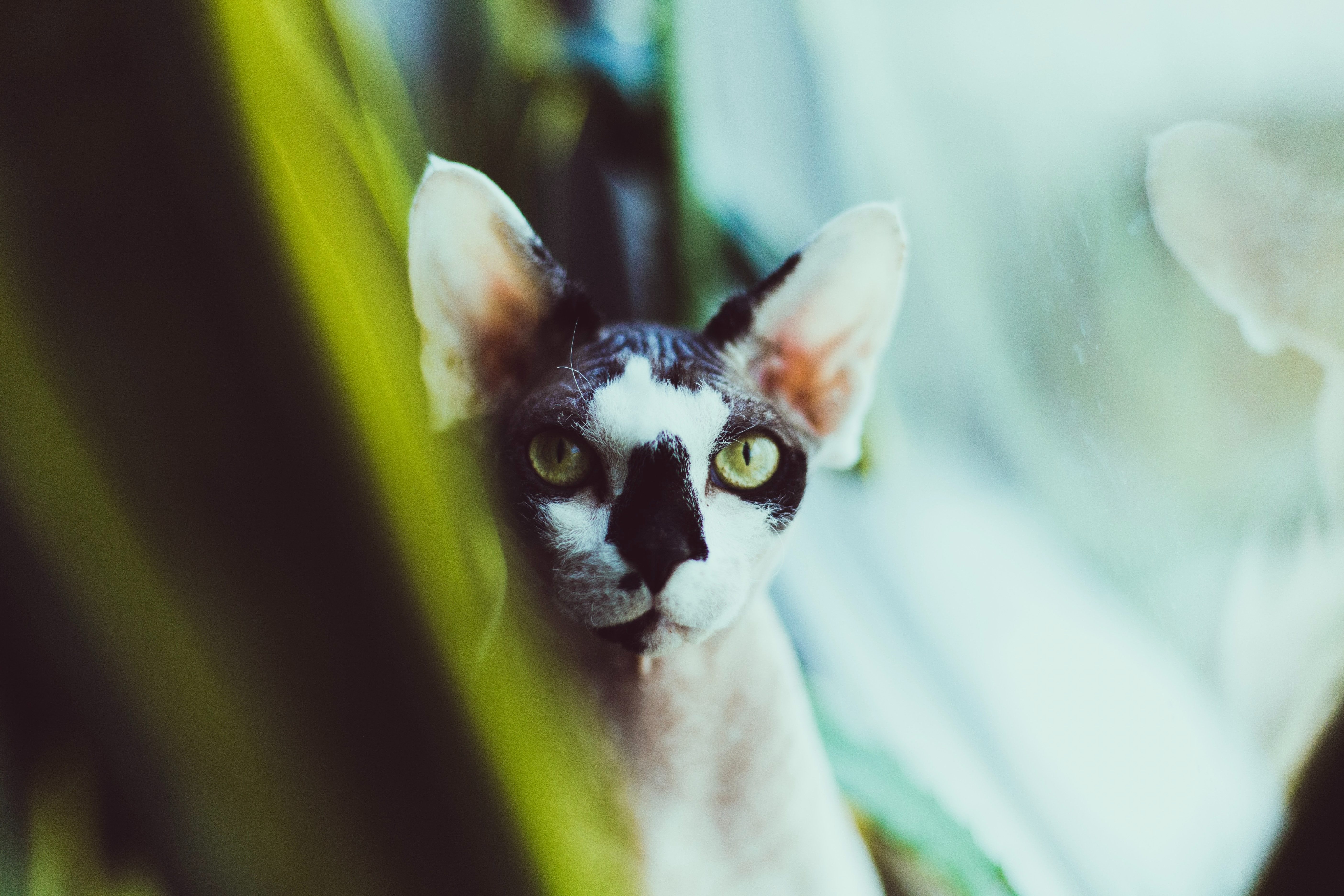 Download mobile wallpaper Animals, Sphinx, Cat, Spotted, Spotty, Pet for free.