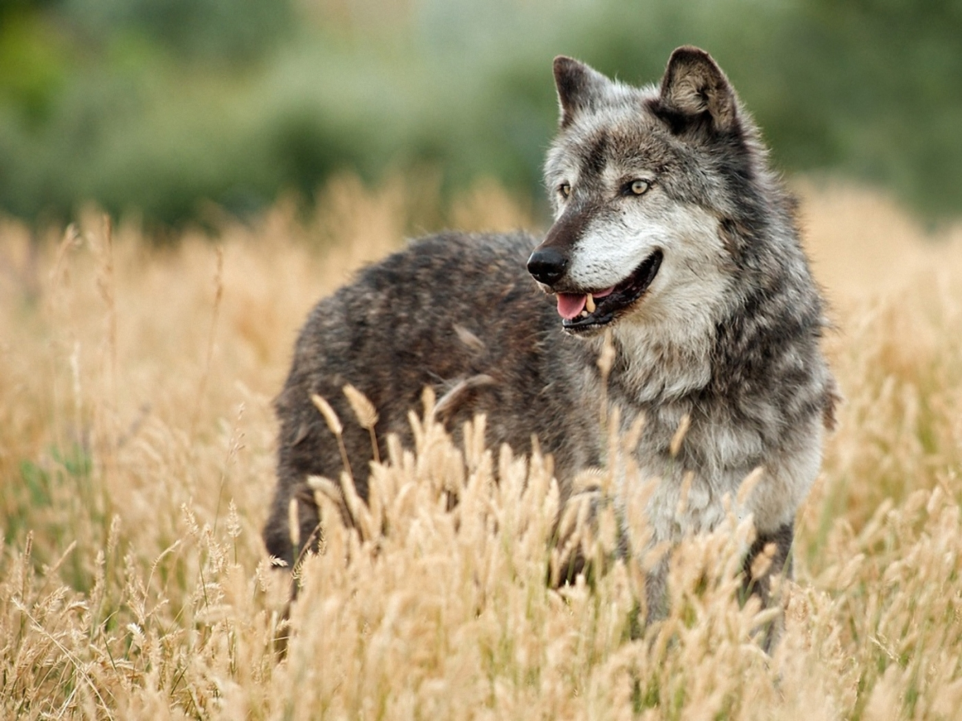 42520 download wallpaper Animals, Wolfs screensavers and pictures for free
