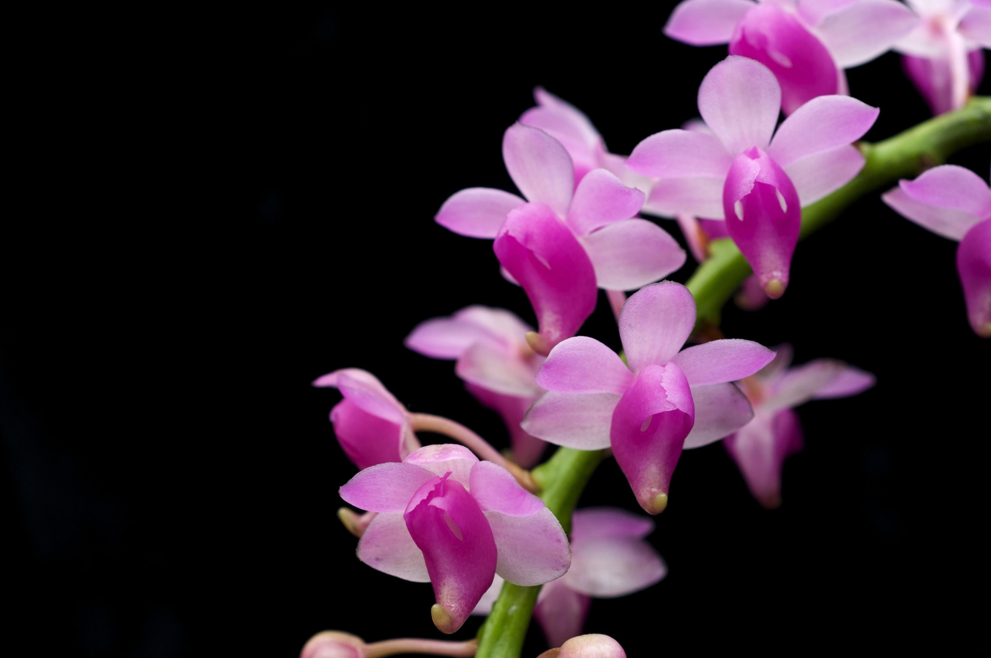 150696 download wallpaper Flowers, Orchid, Branch, Exotic, Exotics, Black Background screensavers and pictures for free