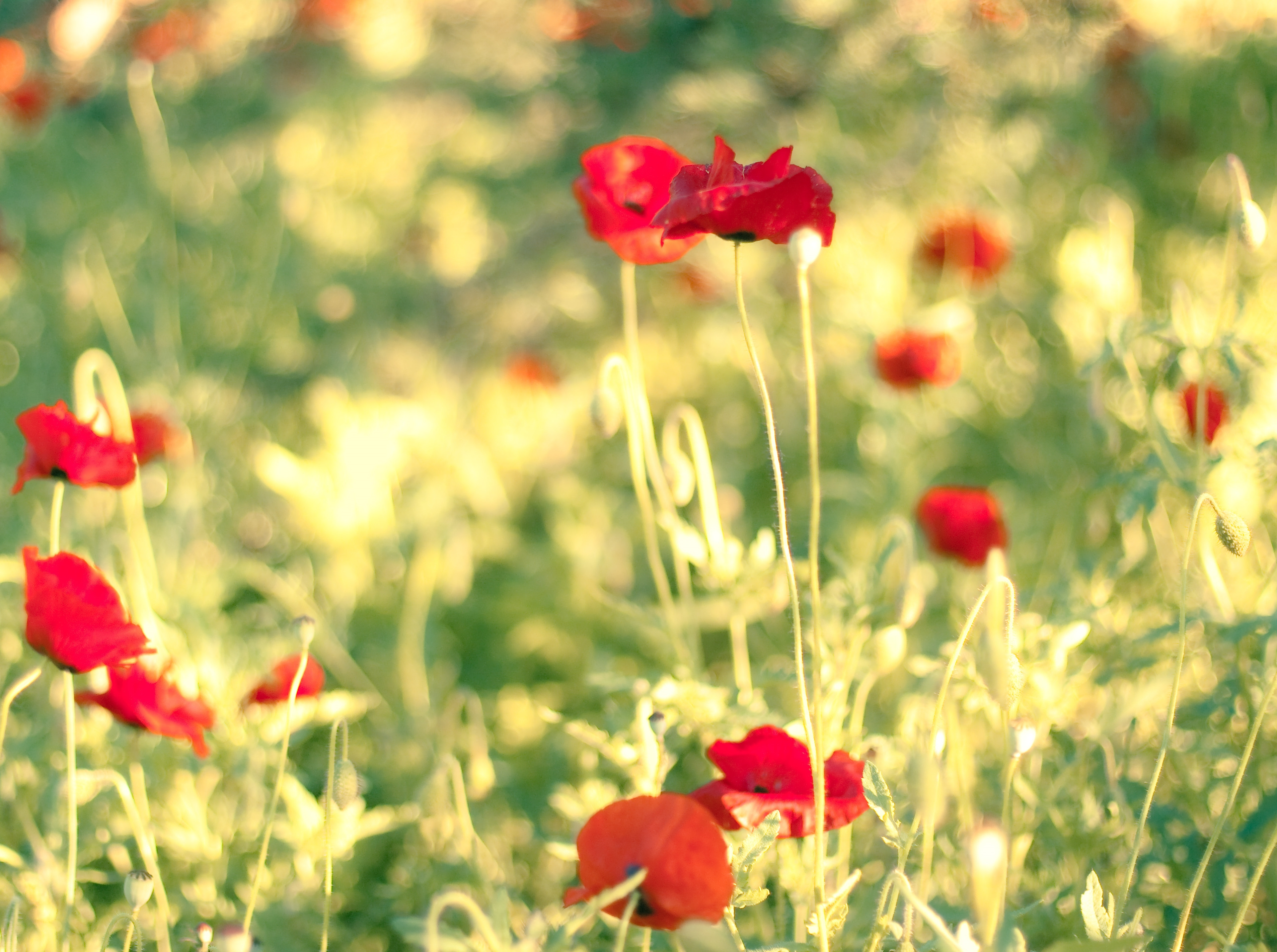 52764 Screensavers and Wallpapers Poppies for phone. Download Flowers, Poppies, Summer, Blur, Smooth, Field pictures for free