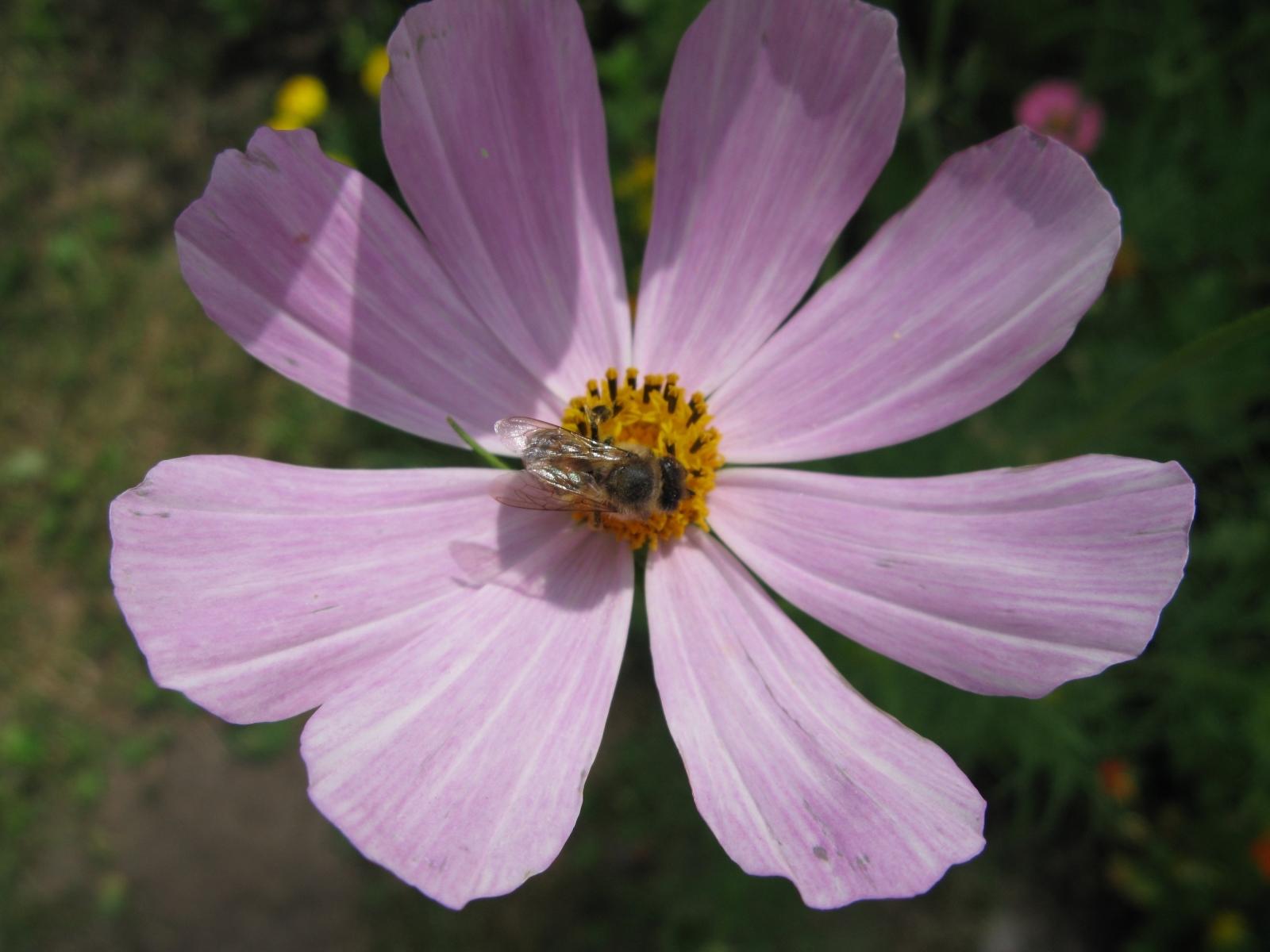 8712 Hintergrundbild herunterladen Blumen, Insekten, Bienen - Bildschirmschoner und Bilder kostenlos