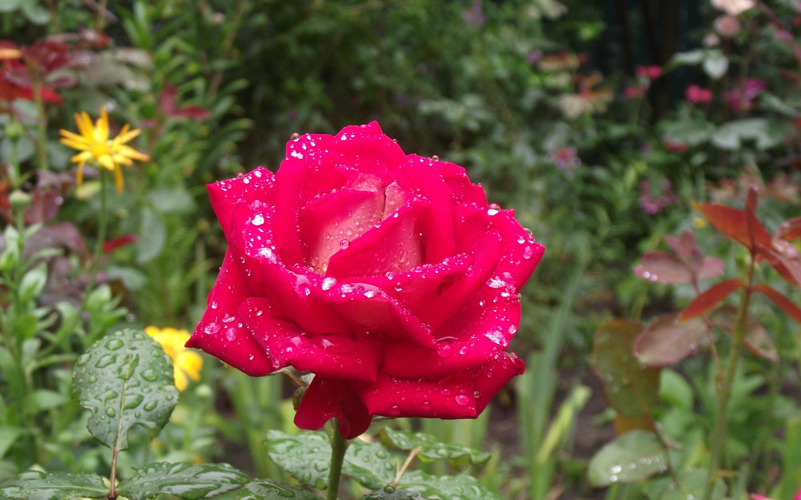 46977 скачать обои Растения, Цветы, Розы - заставки и картинки бесплатно