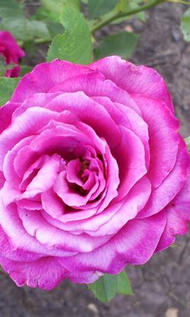 10784 скачать обои Растения, Цветы, Розы - заставки и картинки бесплатно