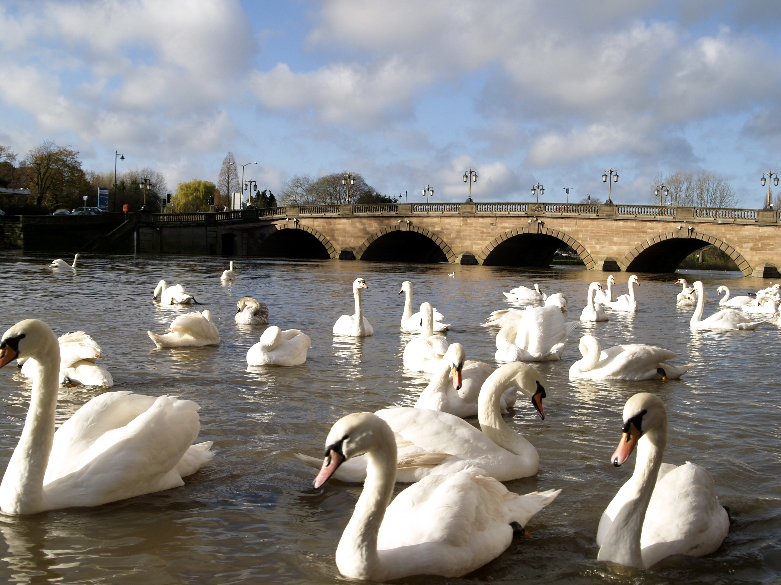 77552 download wallpaper Animals, Swans, Rivers, Bridge, Lots Of, Multitude screensavers and pictures for free