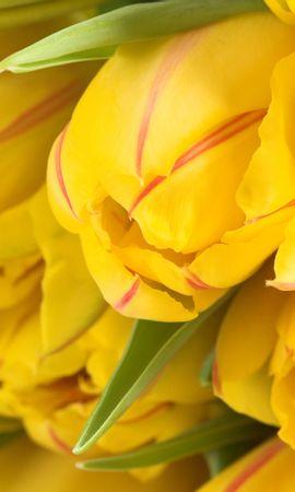 22770 скачать обои Растения, Цветы, Тюльпаны - заставки и картинки бесплатно