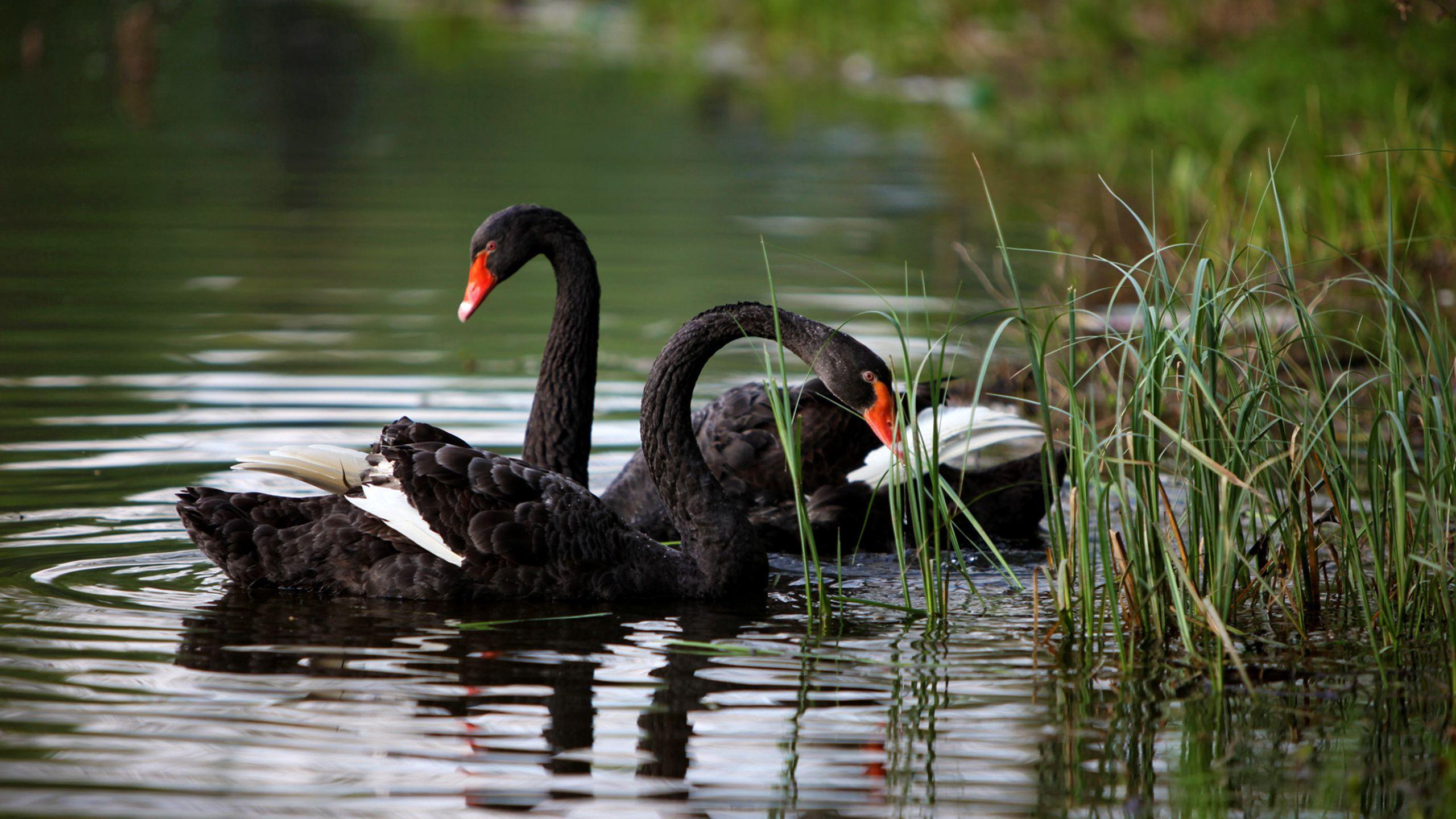 138054 Hintergrundbild herunterladen Tiere, Grass, Swans, See, Teich - Bildschirmschoner und Bilder kostenlos