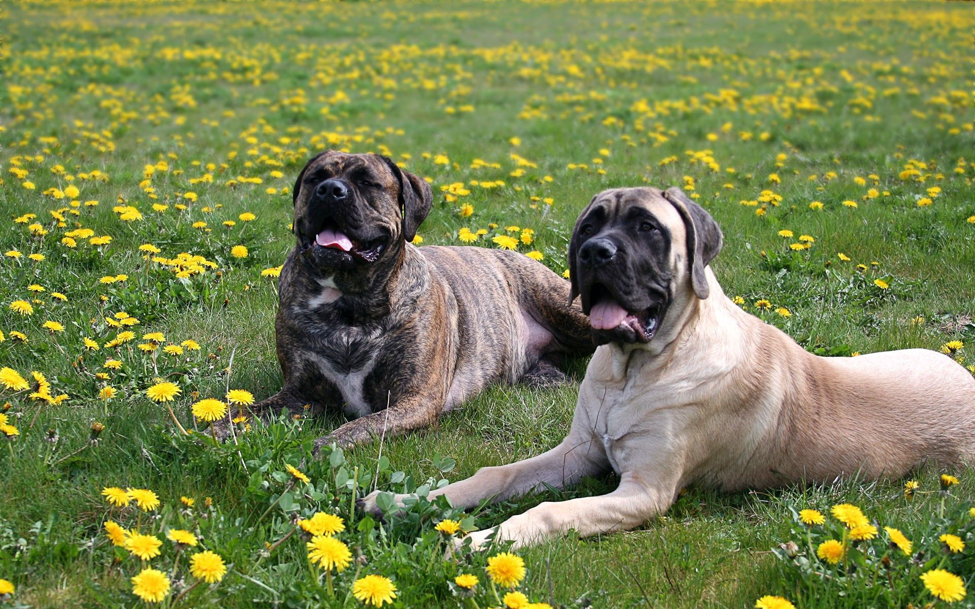 106393 download wallpaper Animals, Dogs, Shepherds, Grass, Flowers screensavers and pictures for free