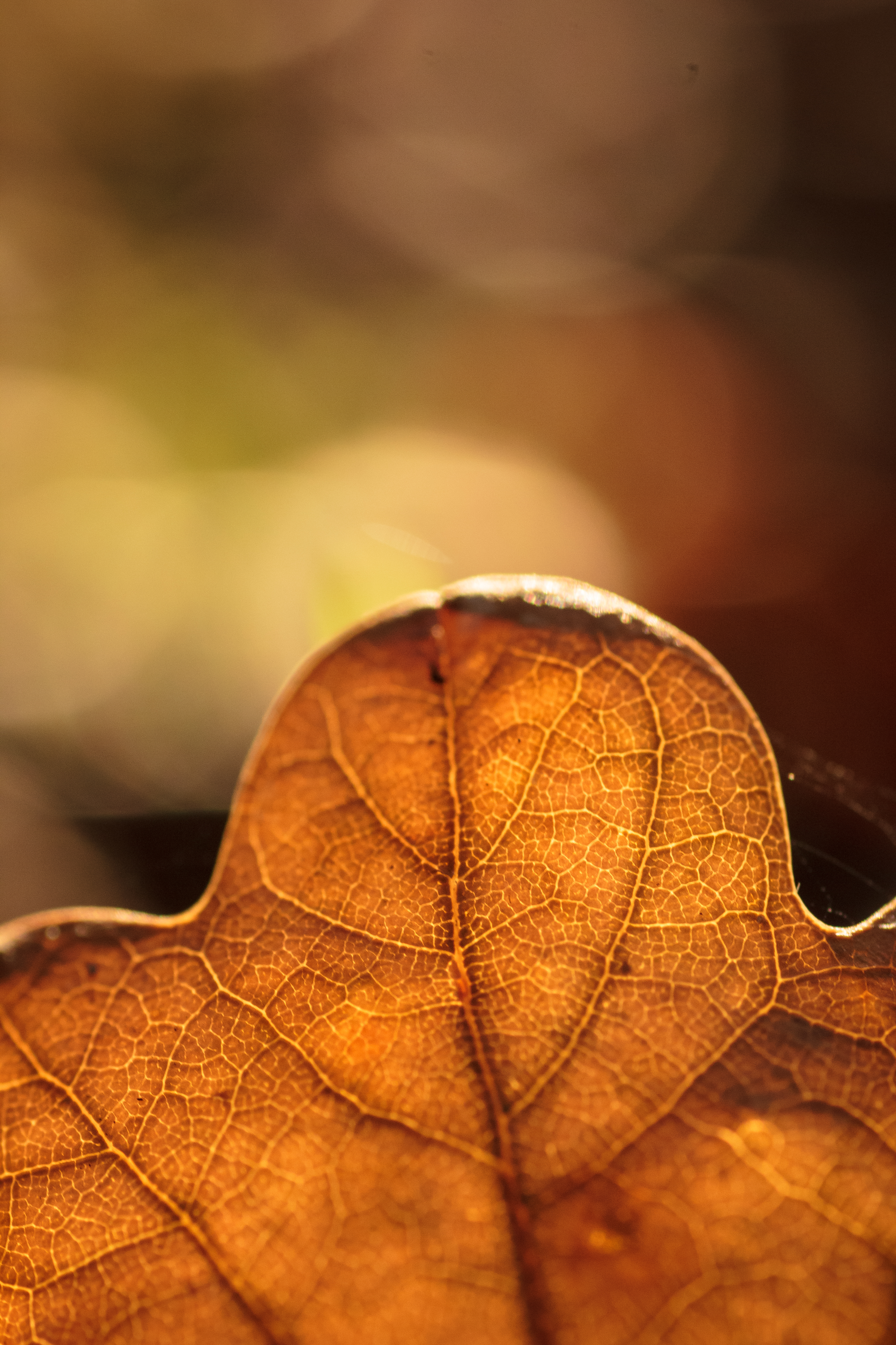 127876 download wallpaper Macro, Sheet, Leaf, Veins, Autumn, Blur, Smooth screensavers and pictures for free