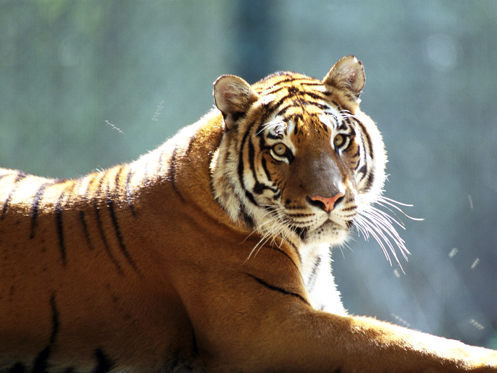 14968 download wallpaper Animals, Tigers screensavers and pictures for free