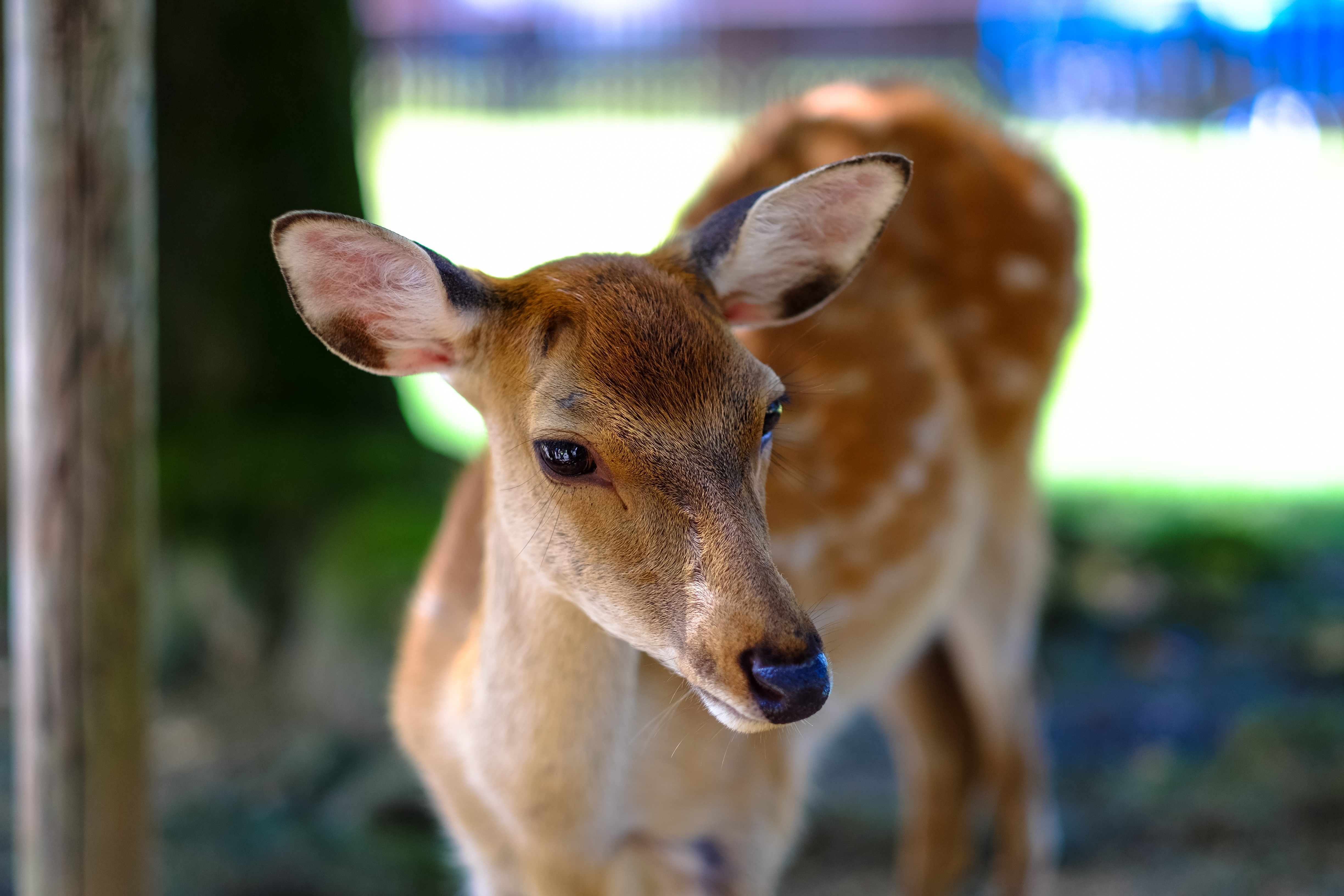153875 download wallpaper Animals, Deer, Doe, Fallow Deer, Muzzle, Spotted, Spotty screensavers and pictures for free