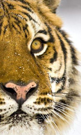 2658 descargar fondo de pantalla Animales, Tigres: protectores de pantalla e imágenes gratis