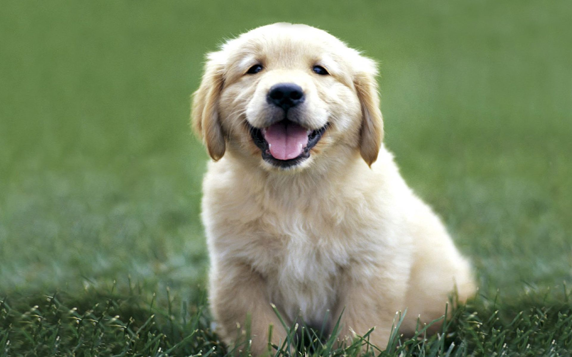 155788 download wallpaper Animals, Dog, Labrador, Color, Grass, Puppy screensavers and pictures for free