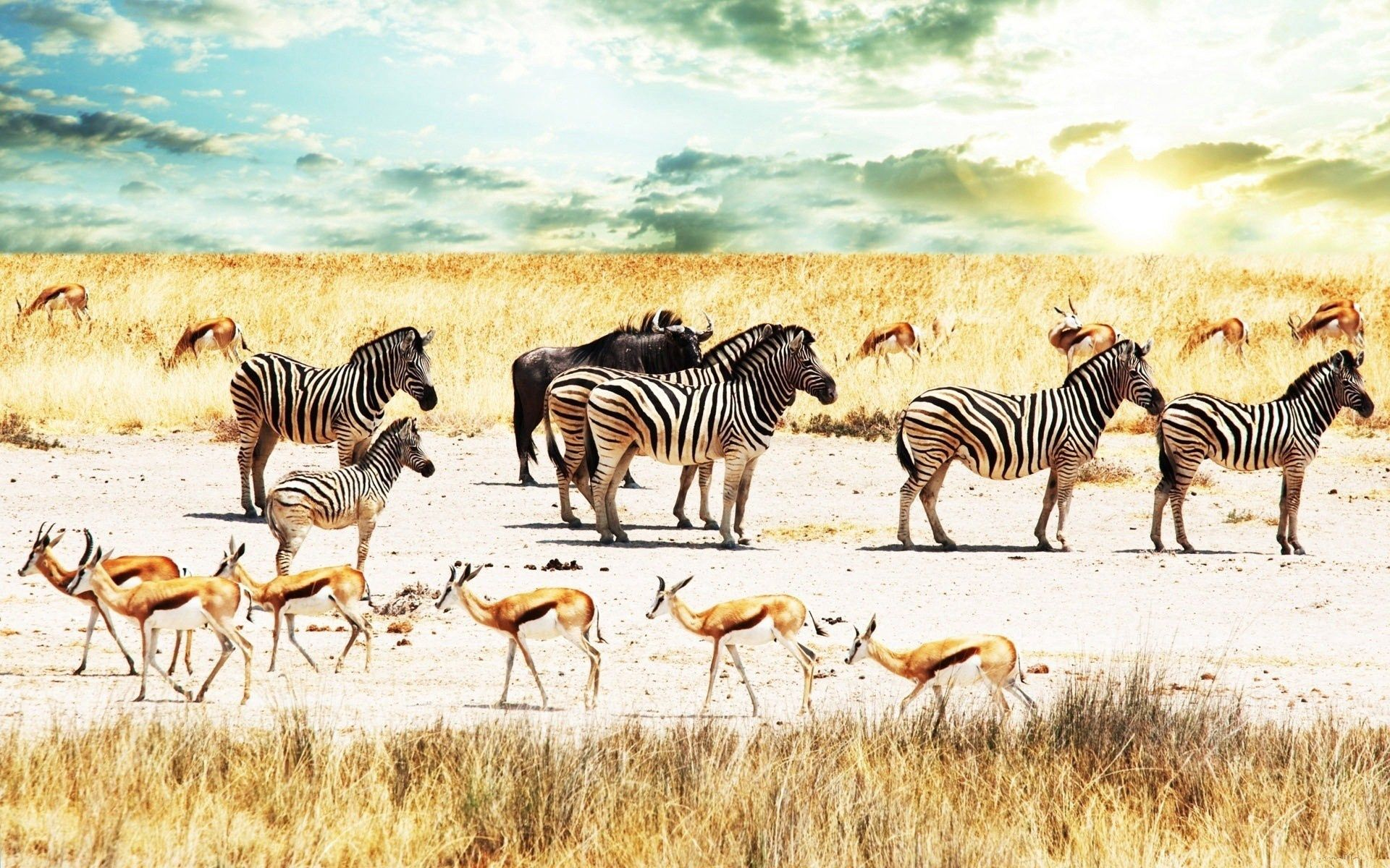 104244 download wallpaper Animals, Buffalo, Buffaloes, Africa, Sky, Savanna, Antelope, Zebra screensavers and pictures for free