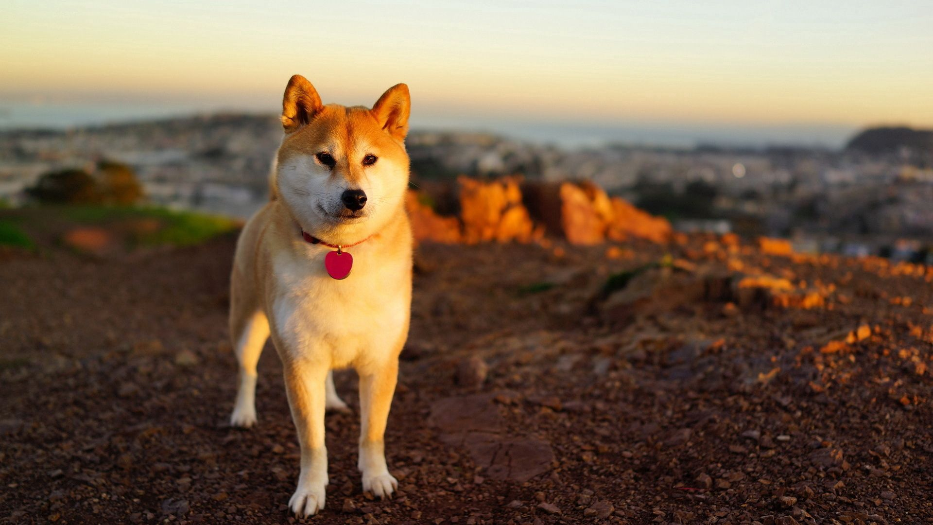 97541 Screensavers and Wallpapers Stroll for phone. Download Animals, Grass, Dog, Stroll, Akita Inu pictures for free
