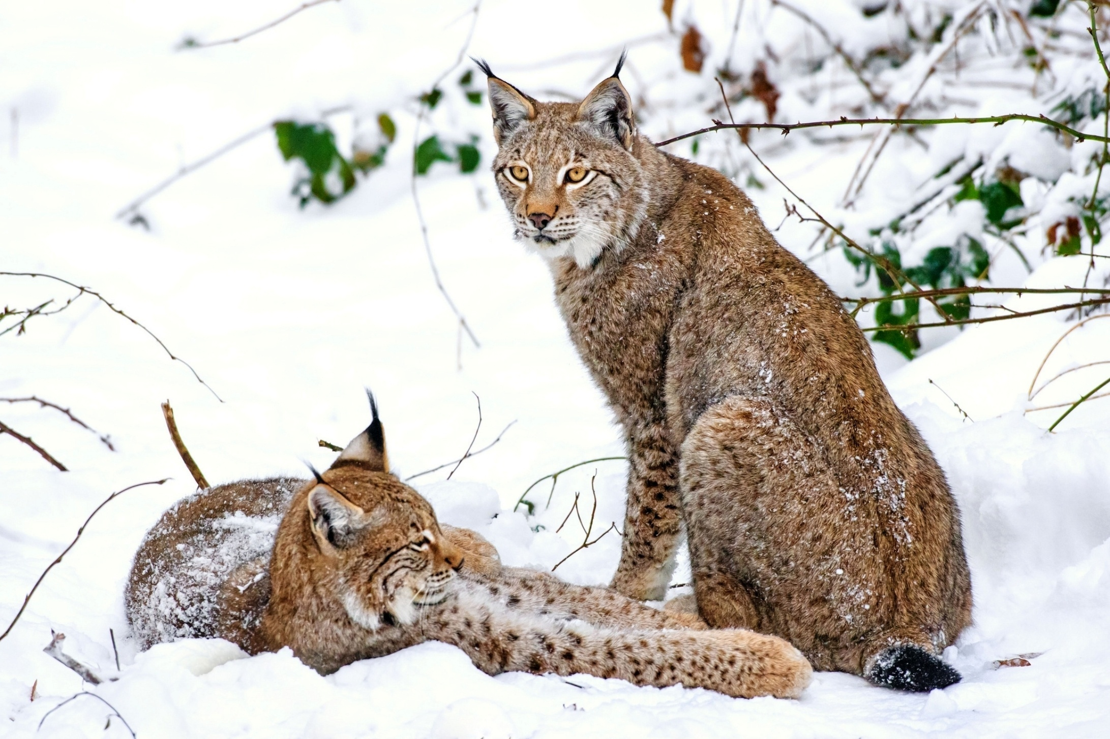 135872 Screensavers and Wallpapers Predators for phone. Download Animals, Snow, Predators, Iris, Couple, Pair pictures for free