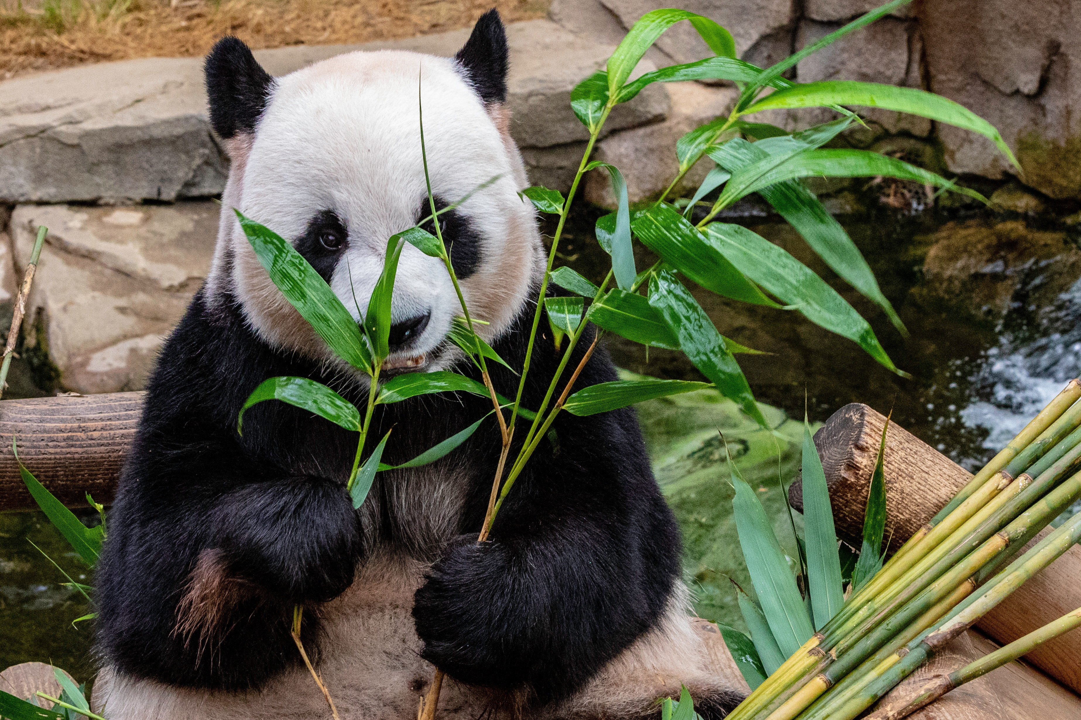 92169 download wallpaper Animals, Panda, Bamboo, Bear, Food screensavers and pictures for free