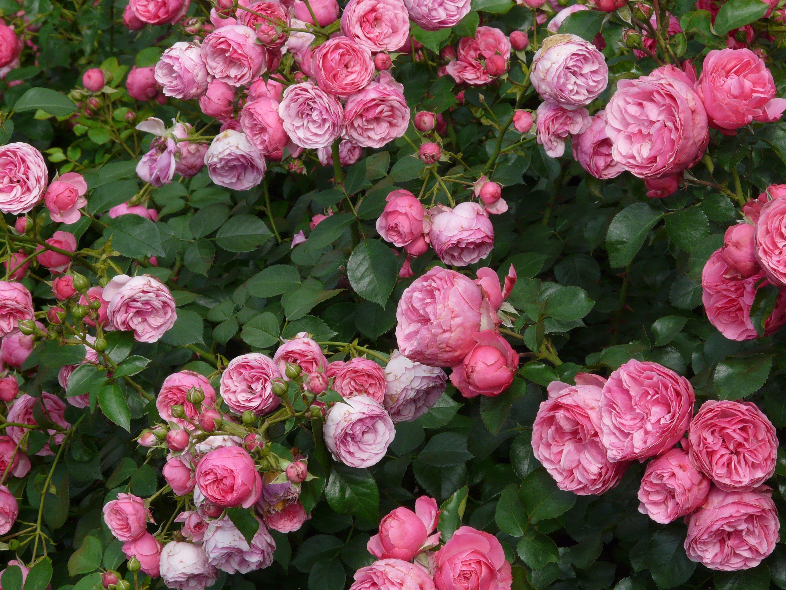 85449 Salvapantallas y fondos de pantalla Flores en tu teléfono. Descarga imágenes de Flores, Arbusto, Cogollos, Brotes, Roses gratis