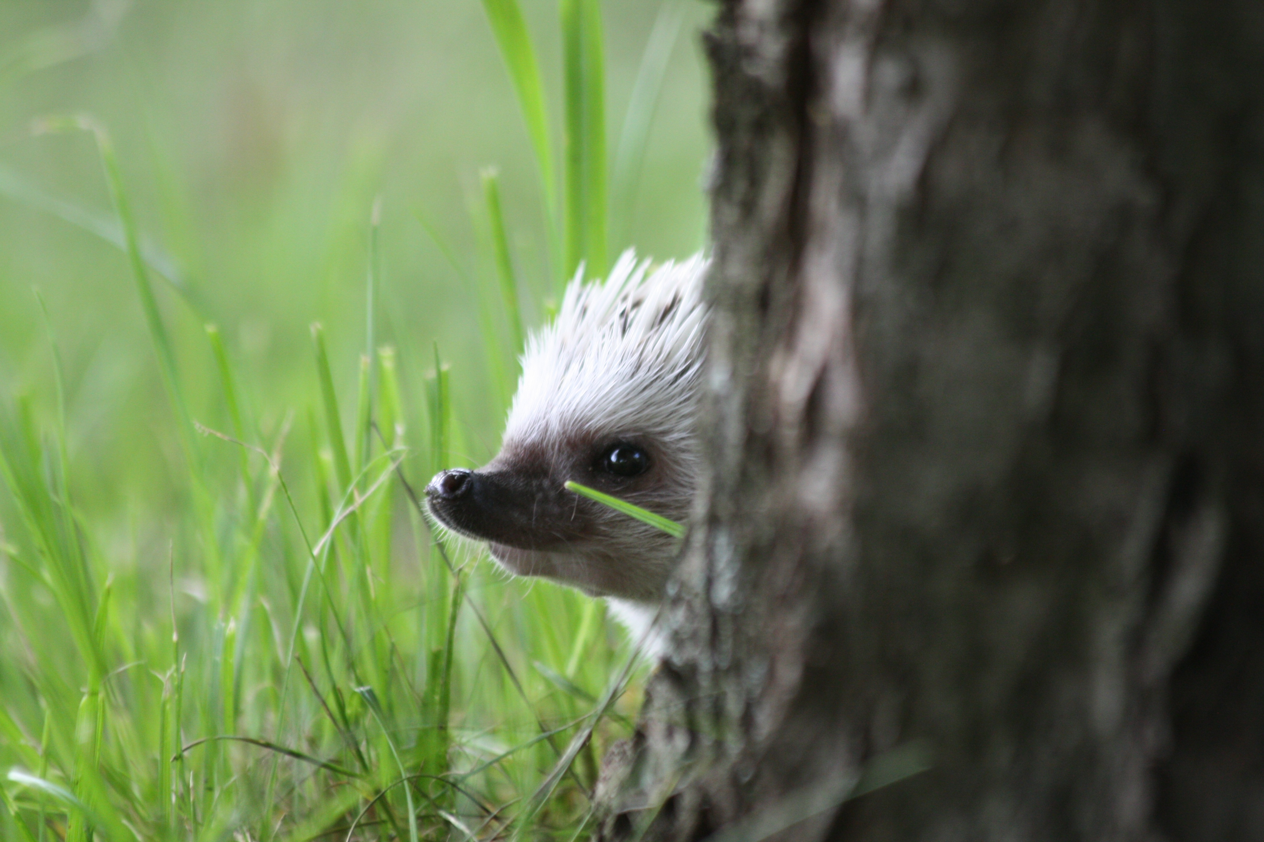 77866 download wallpaper Animals, Hedgehog, Peek Out, Look Out, Muzzle screensavers and pictures for free