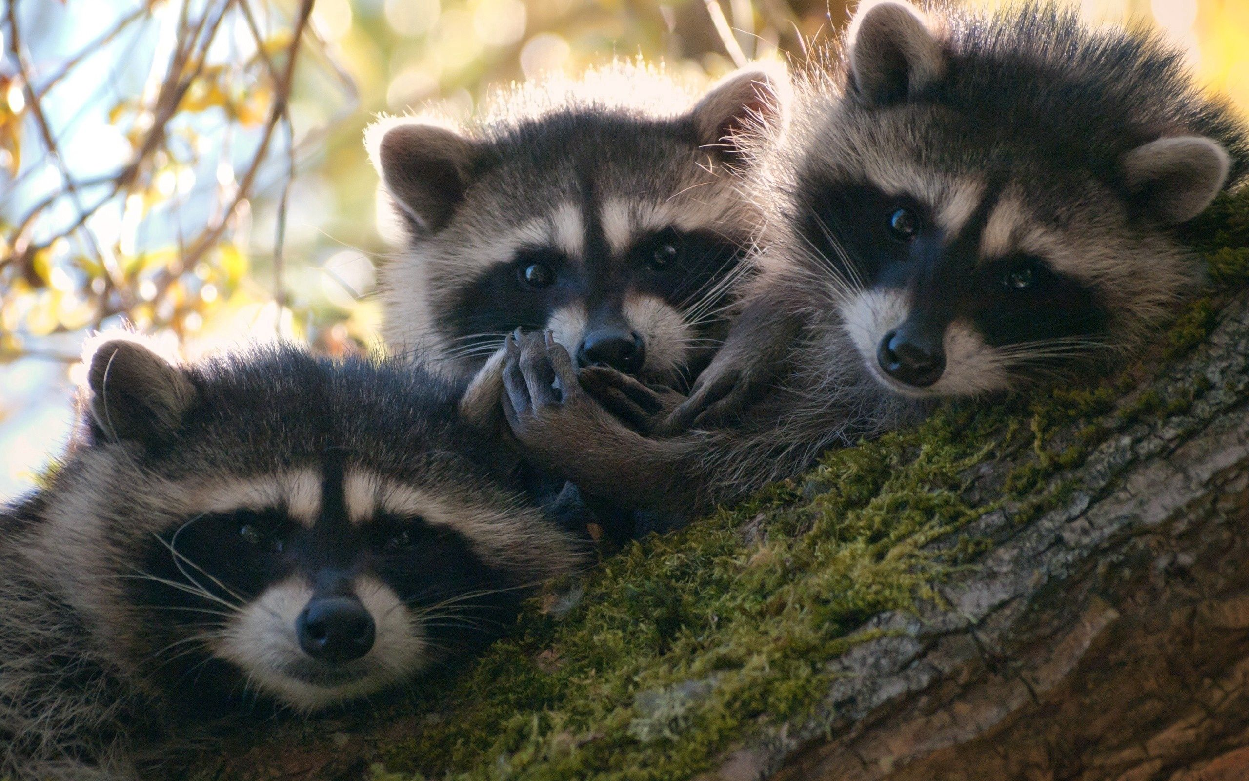 90475 download wallpaper Animals, Raccoons, Wood, Tree, Moss, Climb, Three screensavers and pictures for free