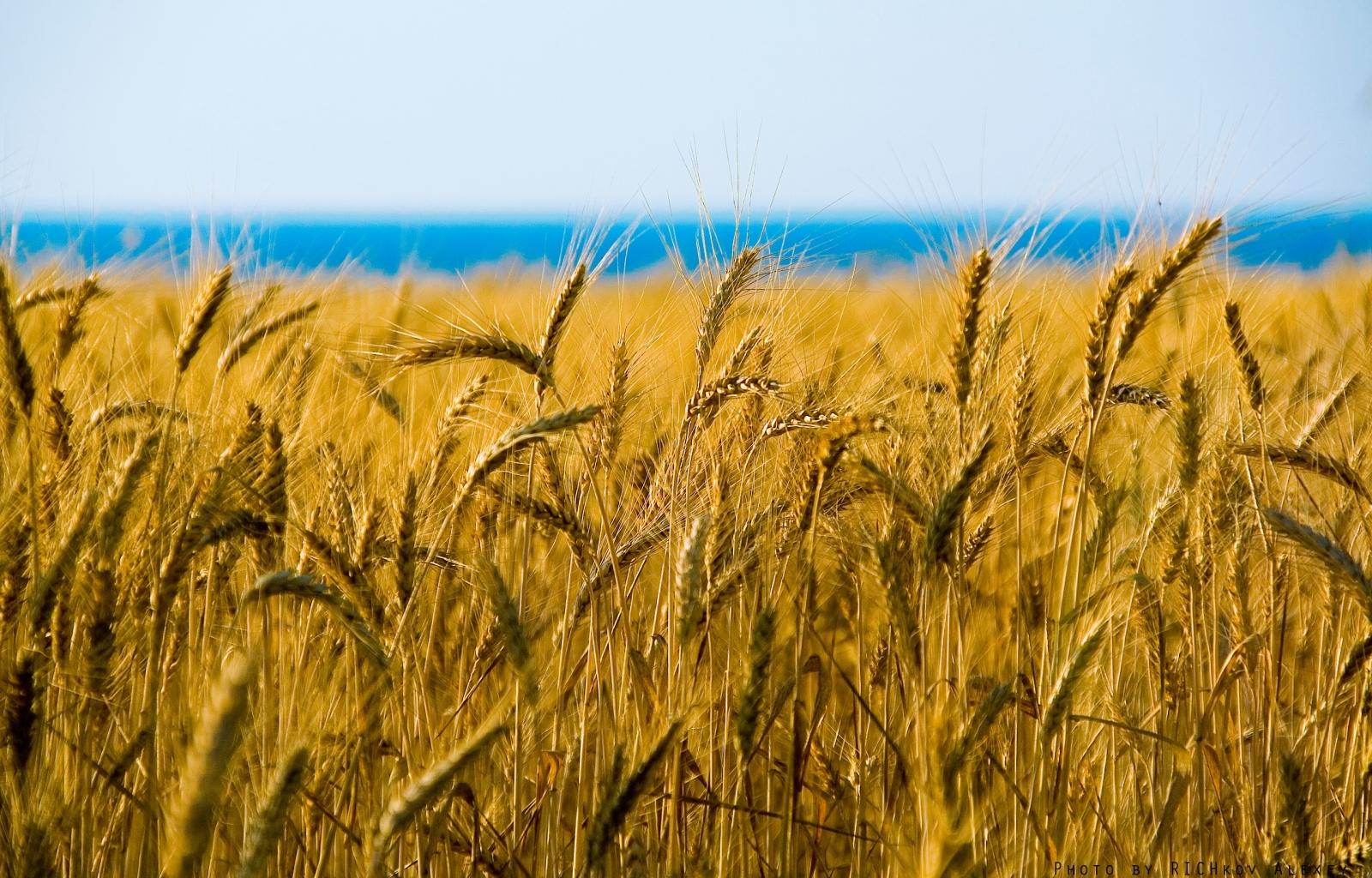 10336 скачать обои Пейзаж, Поля, Пшеница - заставки и картинки бесплатно