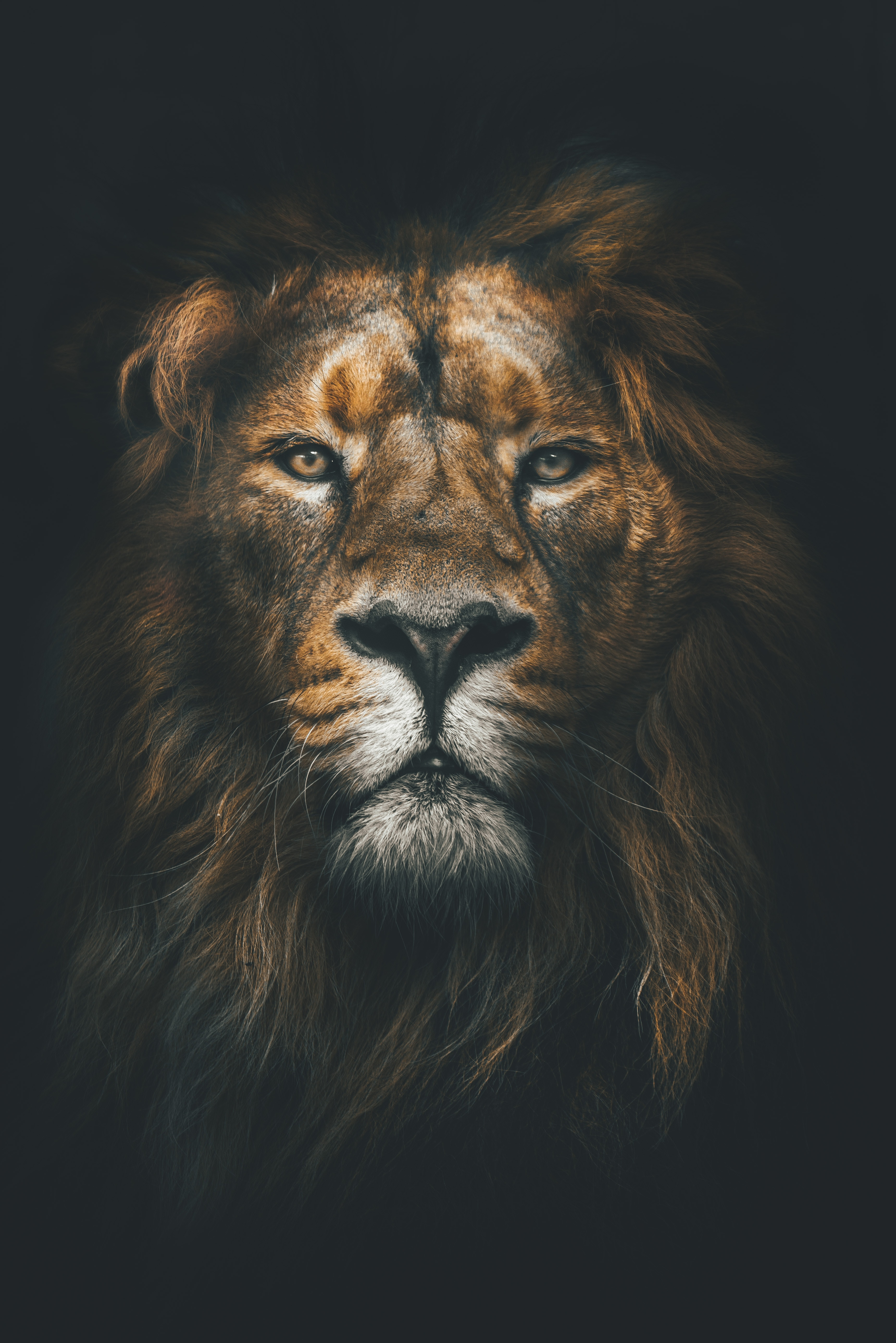 156199 download wallpaper Animals, Lion, Muzzle, Mane, Sight, Opinion, Predator screensavers and pictures for free