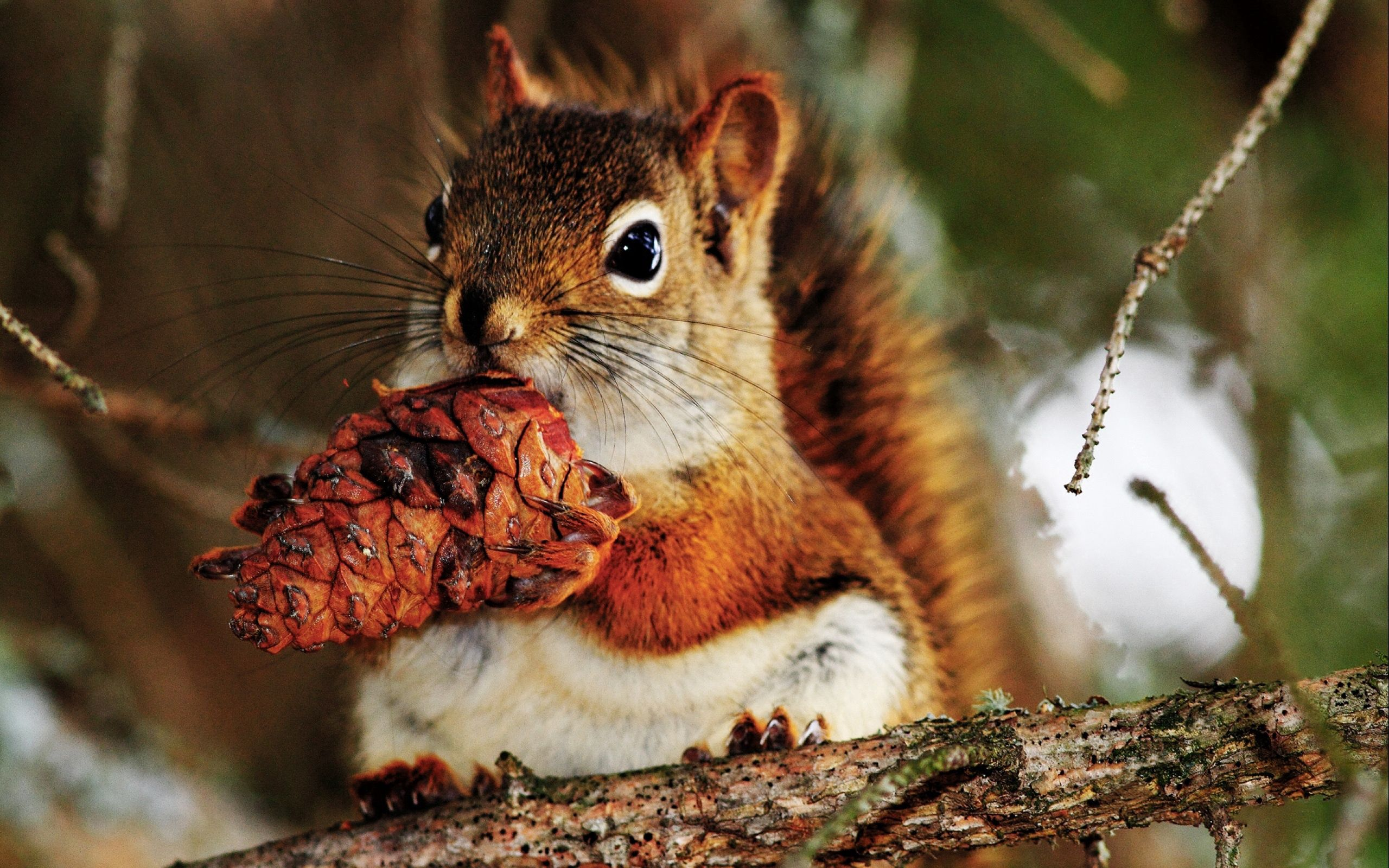 56073 Screensavers and Wallpapers Squirrel for phone. Download Animals, Squirrel, Food, Cone, Bump, Nut pictures for free