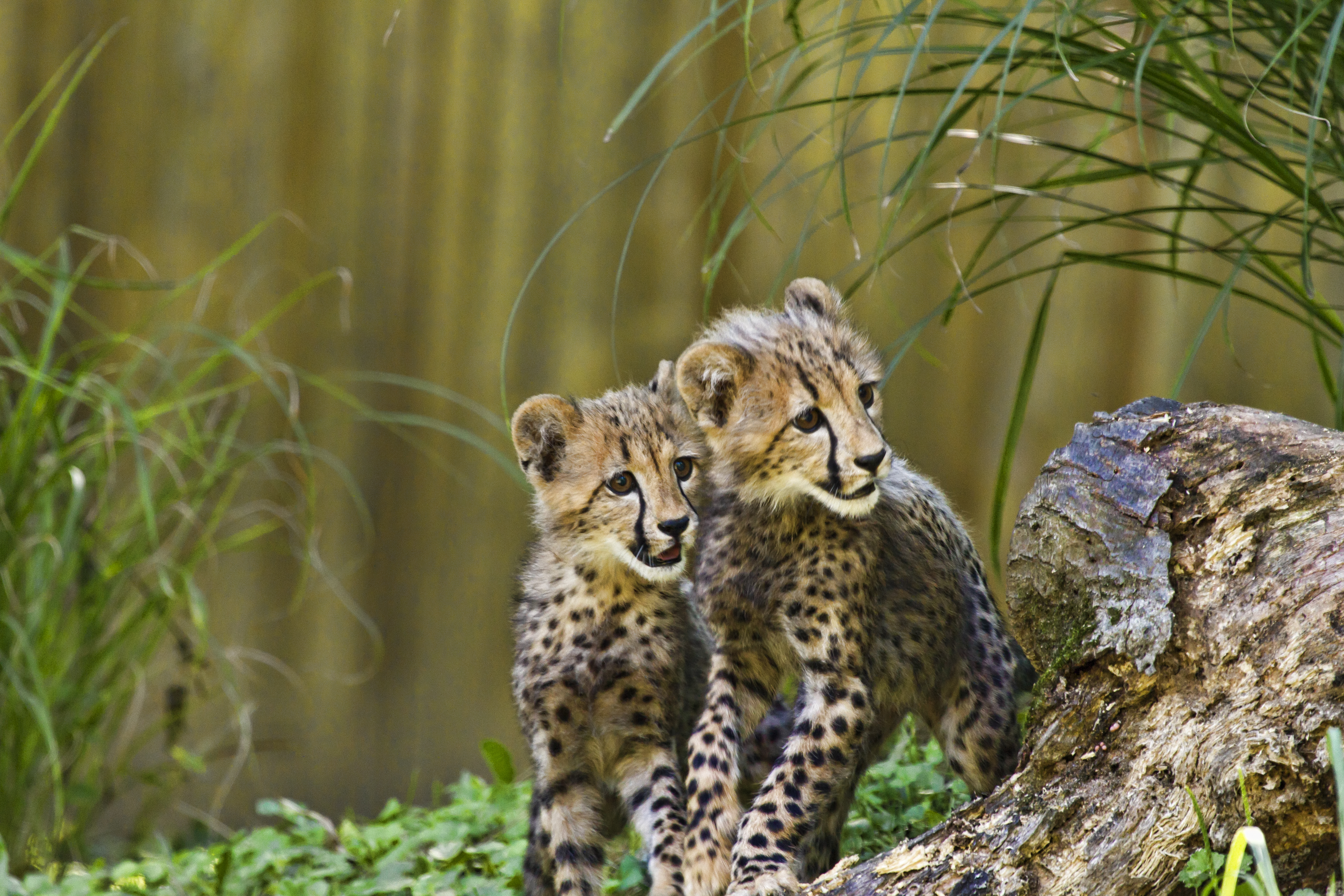 153766 Screensavers and Wallpapers Predators for phone. Download Animals, Cheetah, Predators, Young, Wildlife, Cubs pictures for free