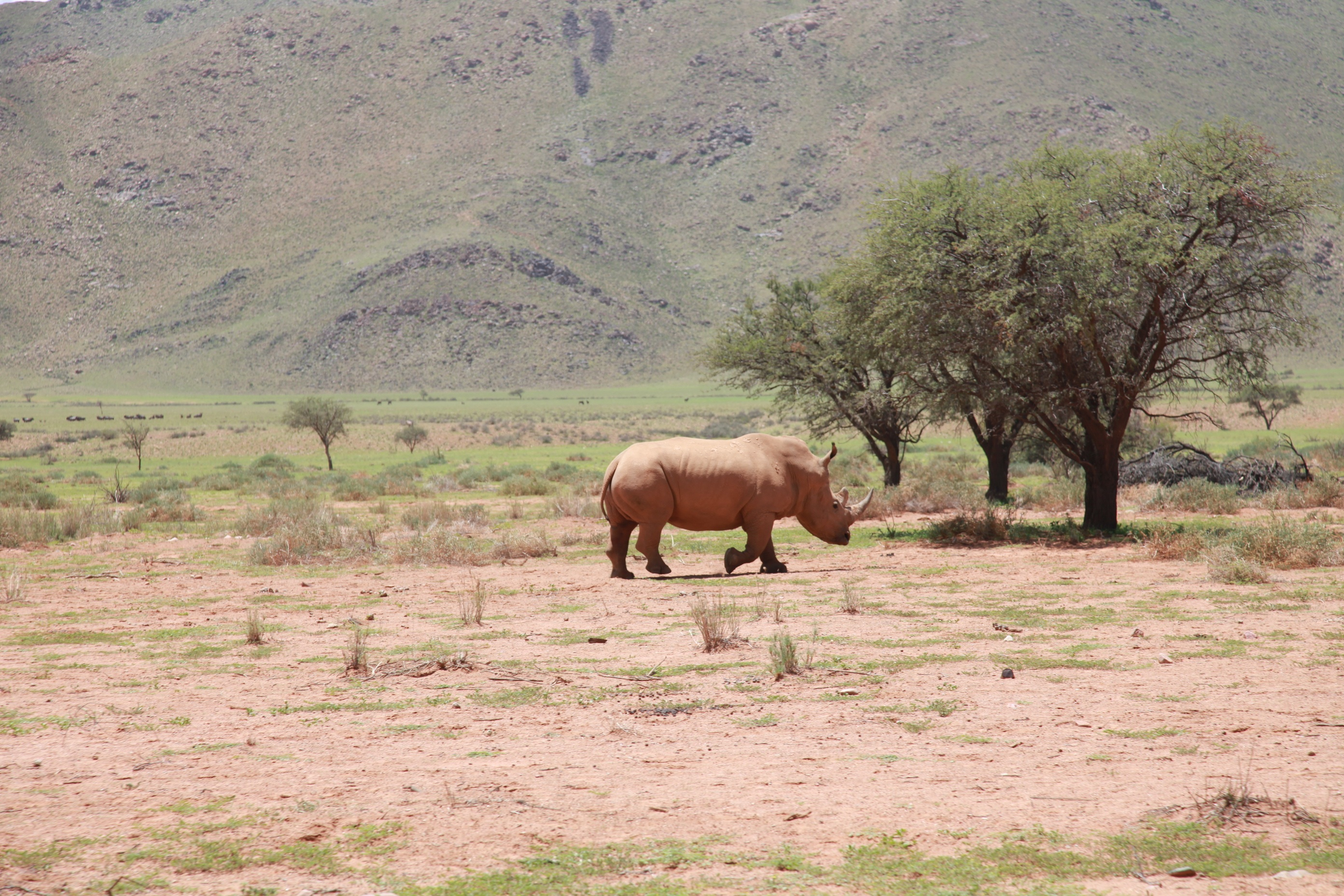 141427 Заставки и Обои Пустыня на телефон. Скачать Животные, Деревья, Пустыня, Носорог, Африка картинки бесплатно