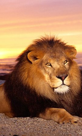 5357 download wallpaper Animals, Lions screensavers and pictures for free