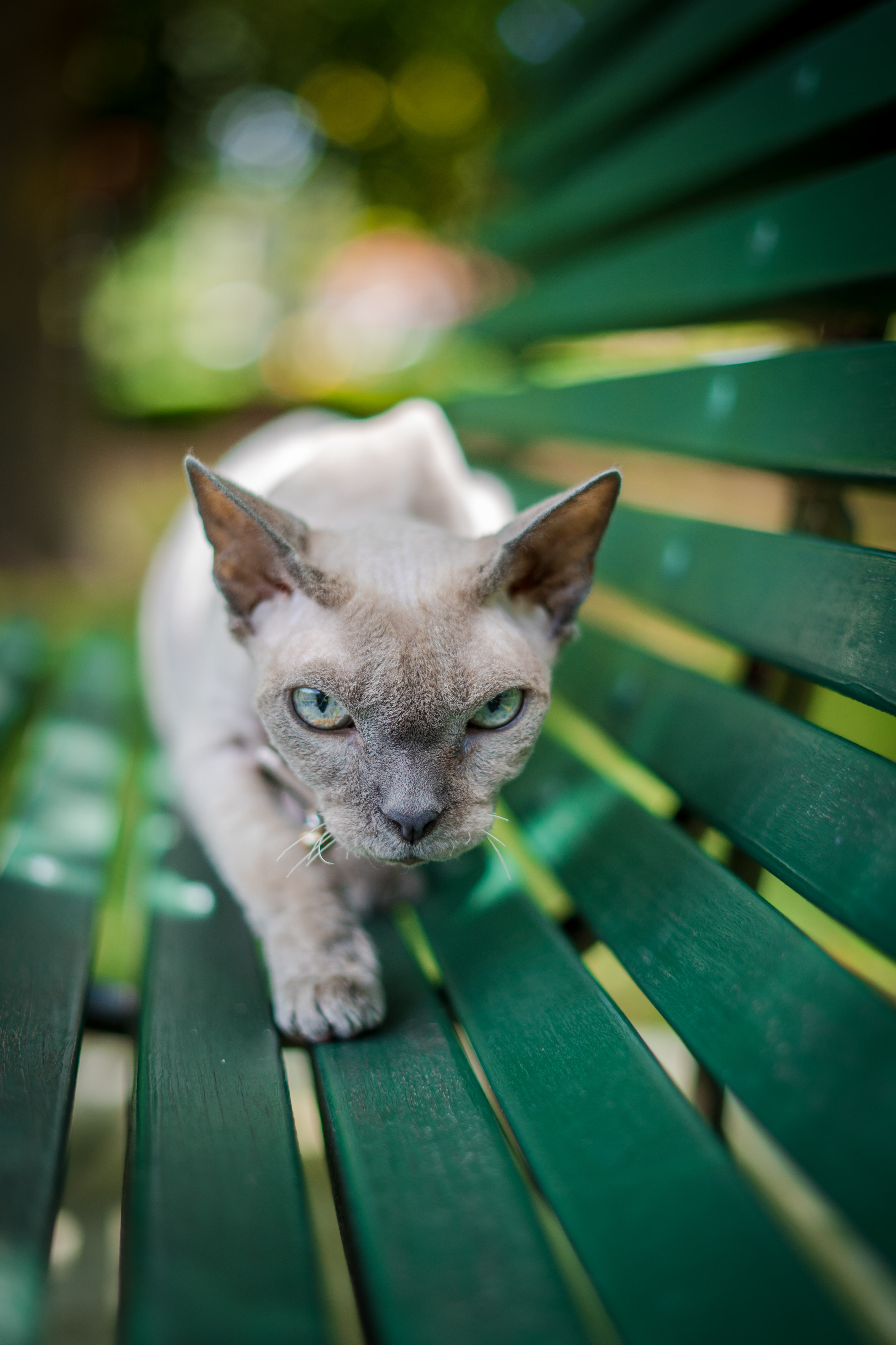 114824 download wallpaper Animals, Sphinx, Cat, Pet, Grey, Sight, Opinion screensavers and pictures for free