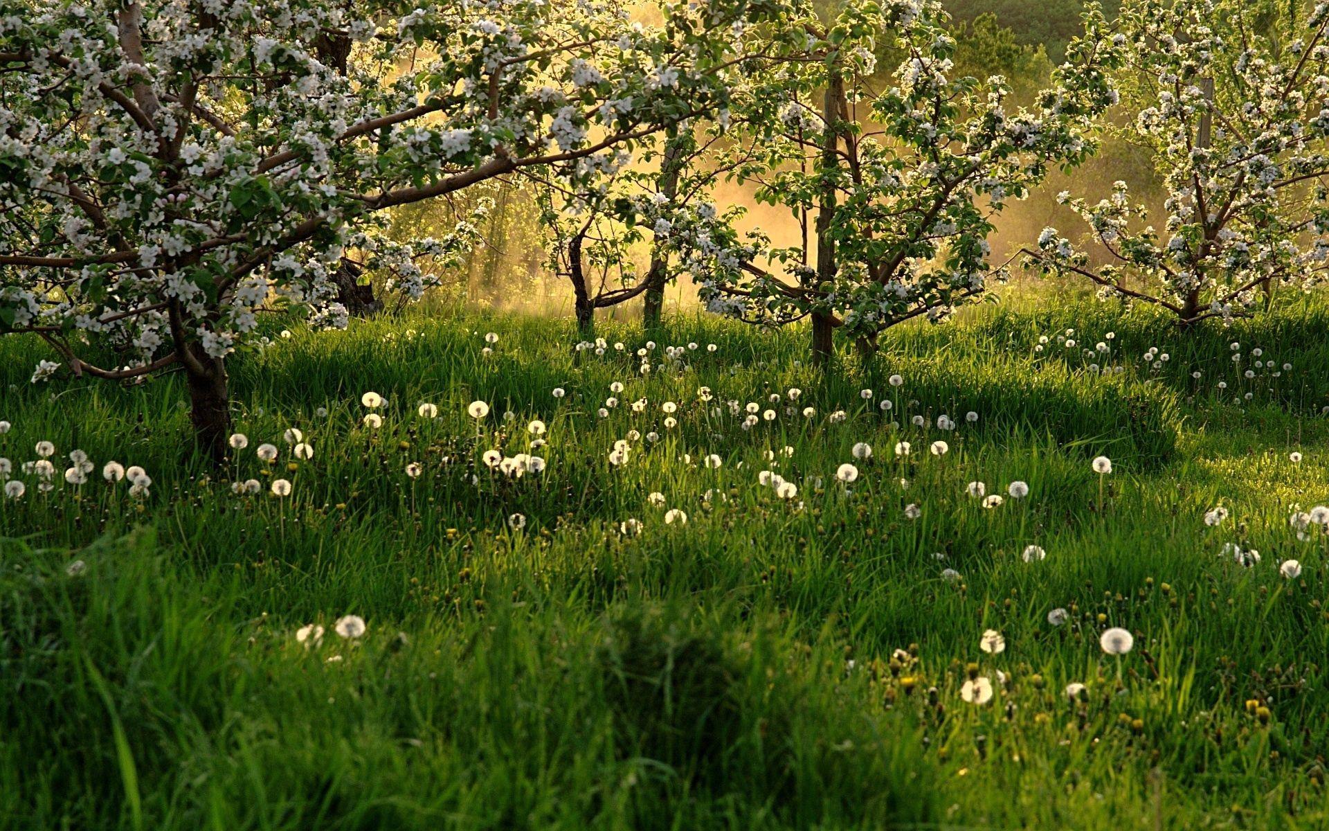 Скачать картинку Природа, Деревья, Трава, Одуванчики, Цветение, Весна в телефон бесплатно.