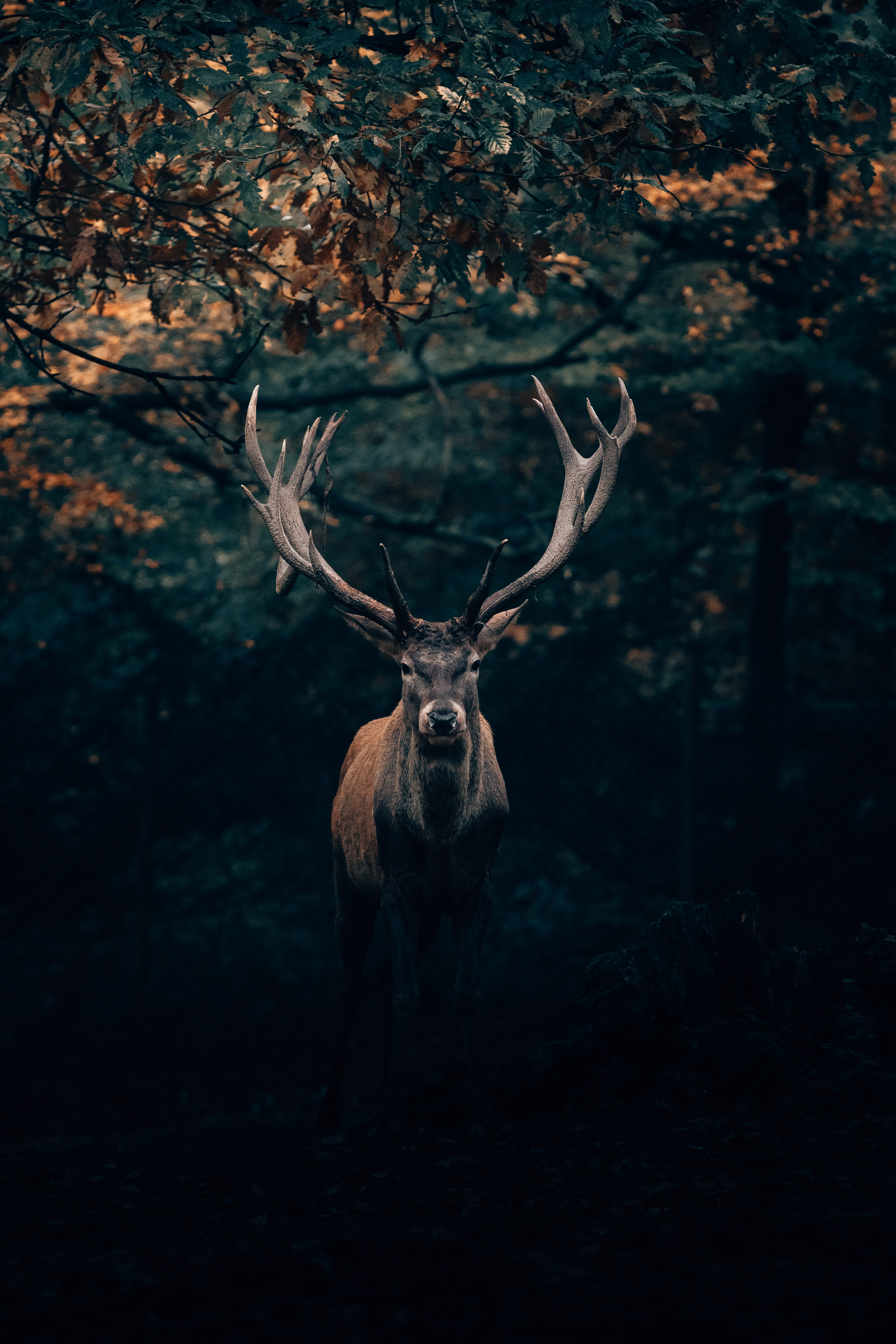 52590 download wallpaper Animals, Deer, Wildlife, Horns, Branches, Forest screensavers and pictures for free