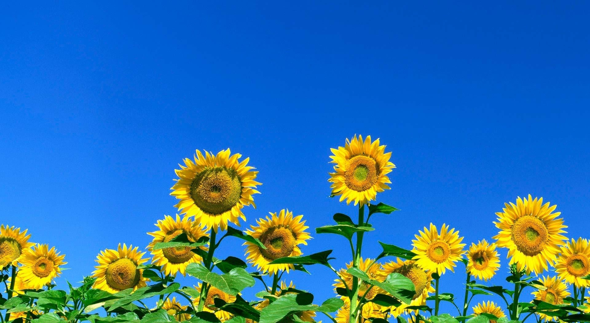 68530 download wallpaper Flowers, Field, Sky, Summer, Sunny, Sunflowers screensavers and pictures for free