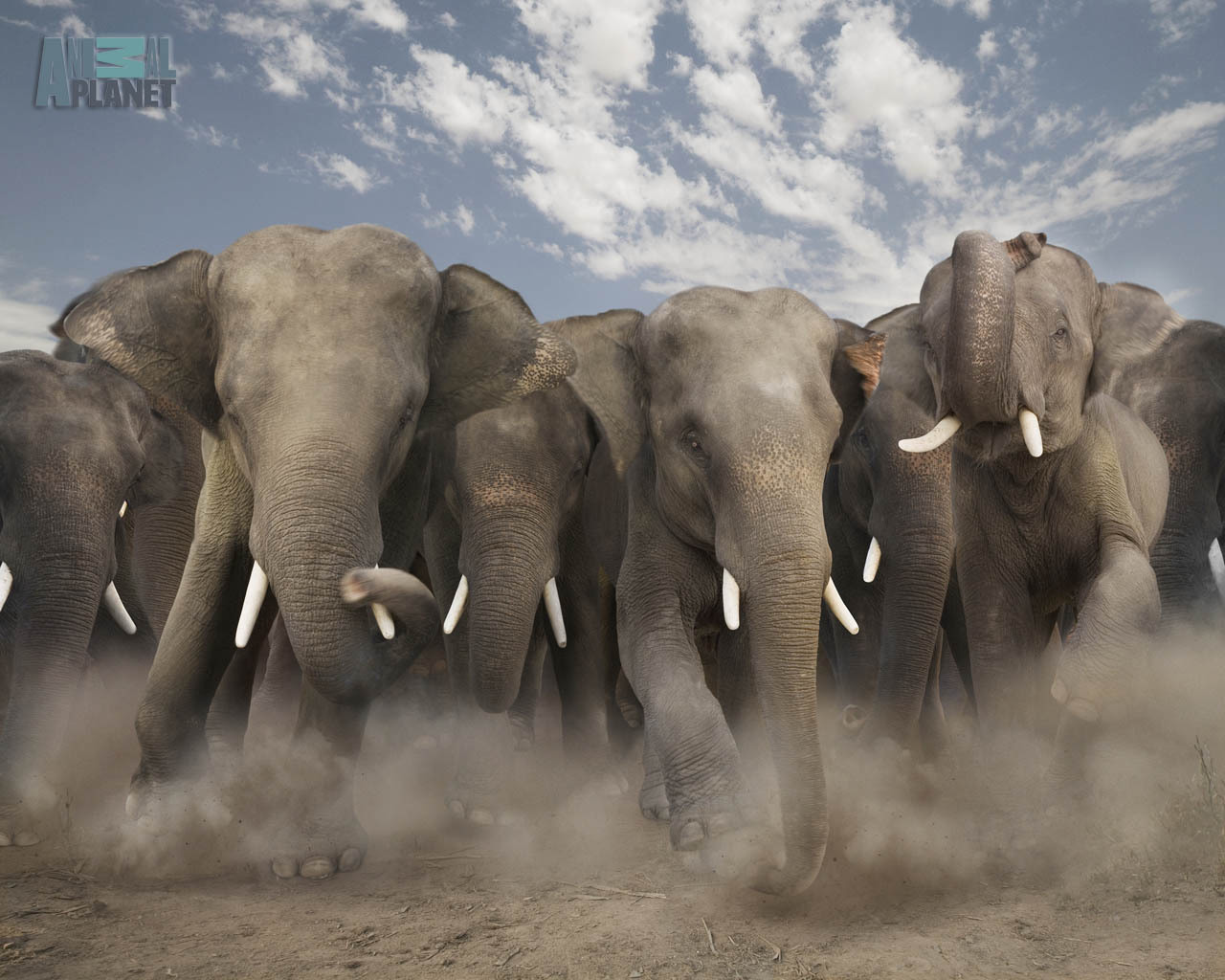 4716 download wallpaper Animals, Elephants screensavers and pictures for free