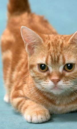 8670 download wallpaper Animals, Cats screensavers and pictures for free