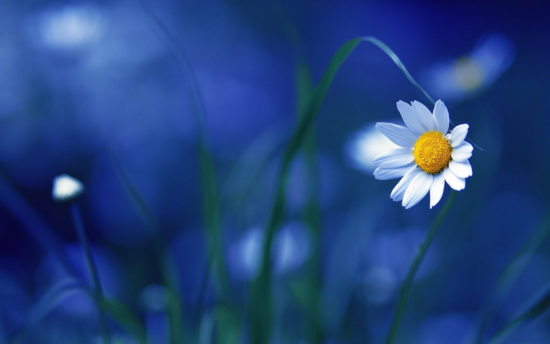 25893 скачать обои Растения, Цветы, Ромашки - заставки и картинки бесплатно
