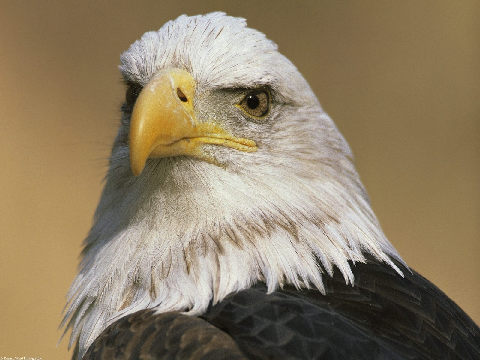 1934 download wallpaper Animals, Birds, Eagles screensavers and pictures for free