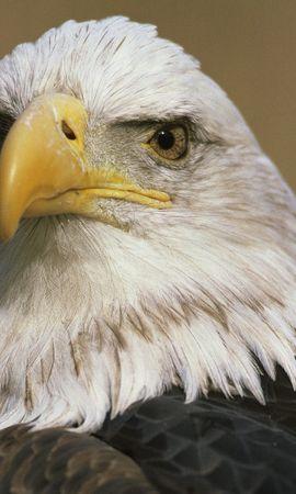 1934 baixar papel de parede Animais, Aves, Eagles - protetores de tela e imagens gratuitamente