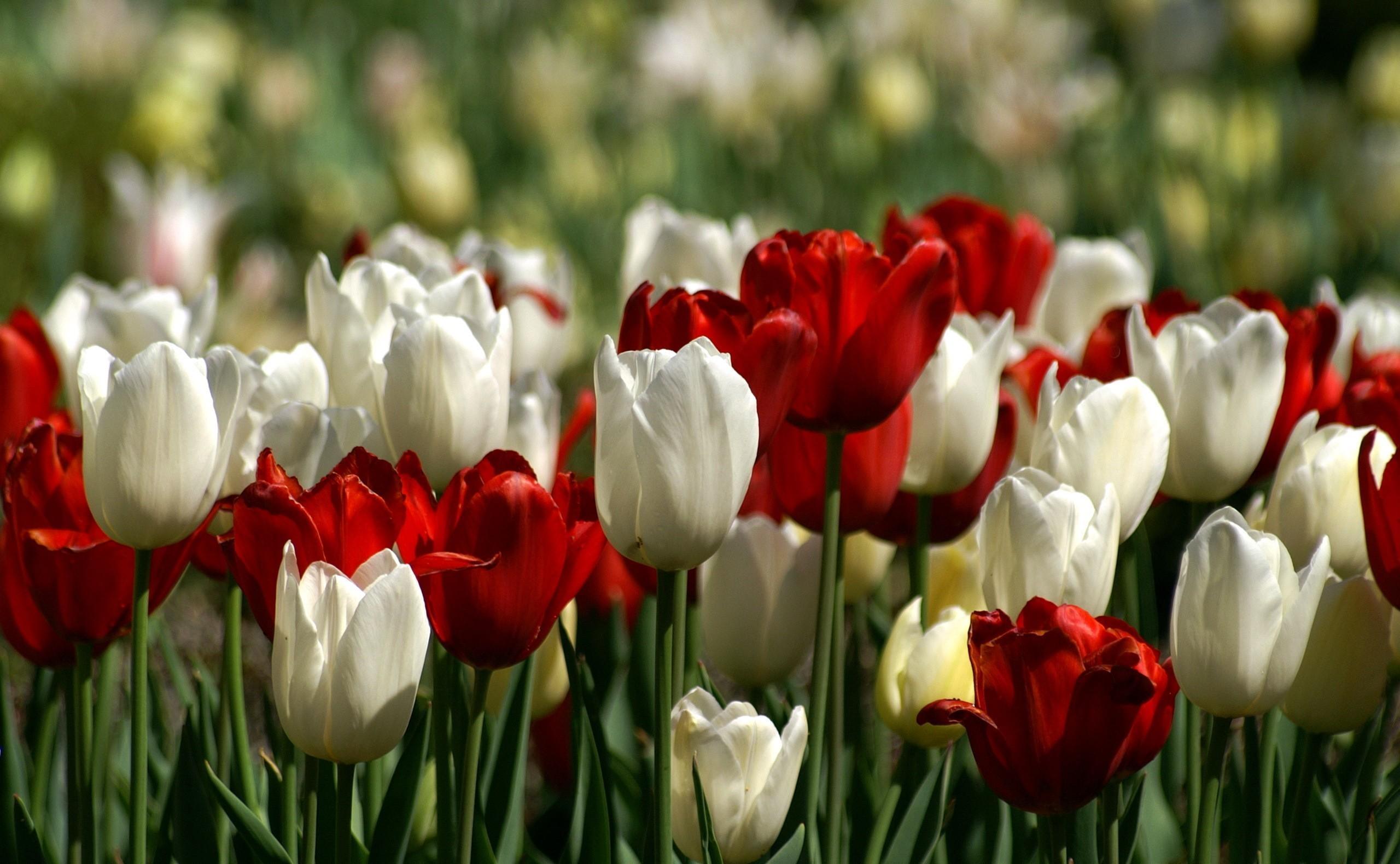 92950 descargar fondo de pantalla Flores, Cama De Flores, Parterre, Primavera, Tulipanes: protectores de pantalla e imágenes gratis