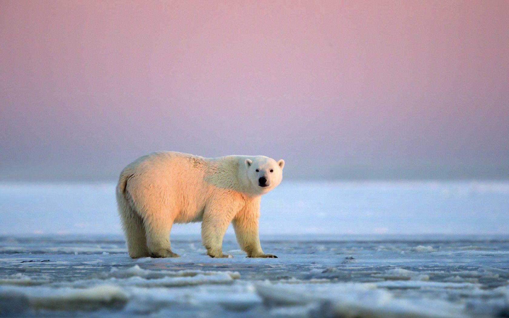 149556 скачать обои Животные, Белый Медведь, Снег, Лед, Небо - заставки и картинки бесплатно