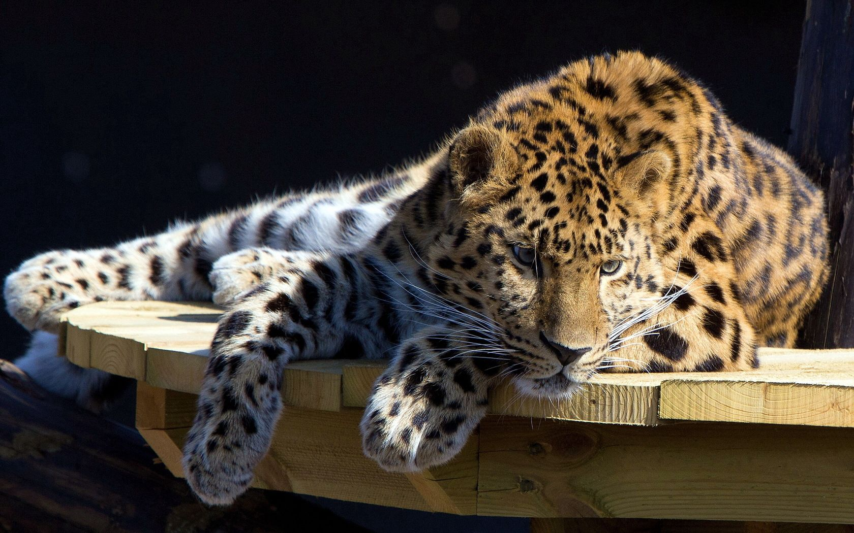 87971 download wallpaper Animals, Leopard, To Lie Down, Lie, Dog, Muzzle, Hunting, Hunt, Attention, Table screensavers and pictures for free