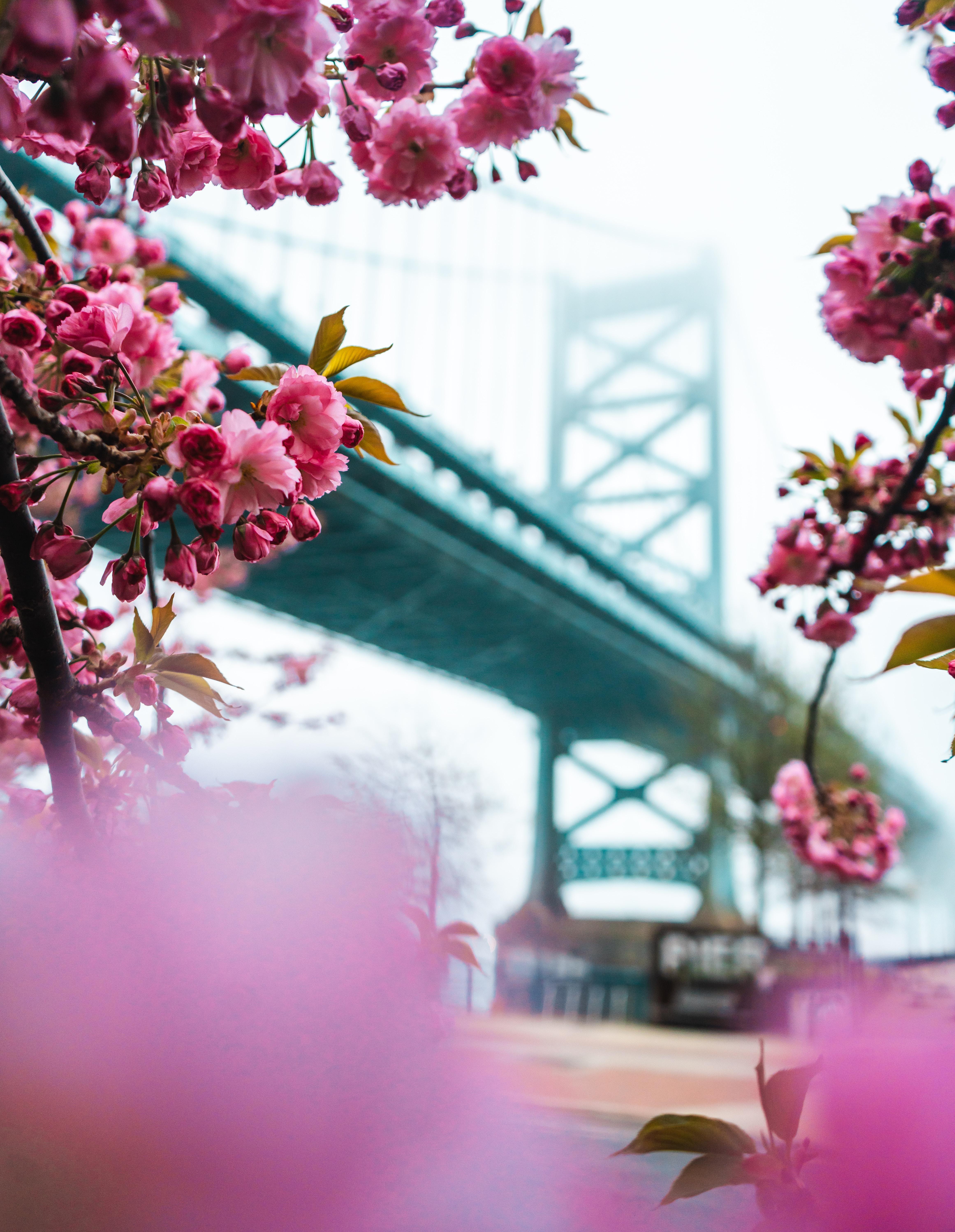 100040 Screensavers and Wallpapers Sakura for phone. Download Flowers, Pink, Sakura, Bridge, Spring pictures for free